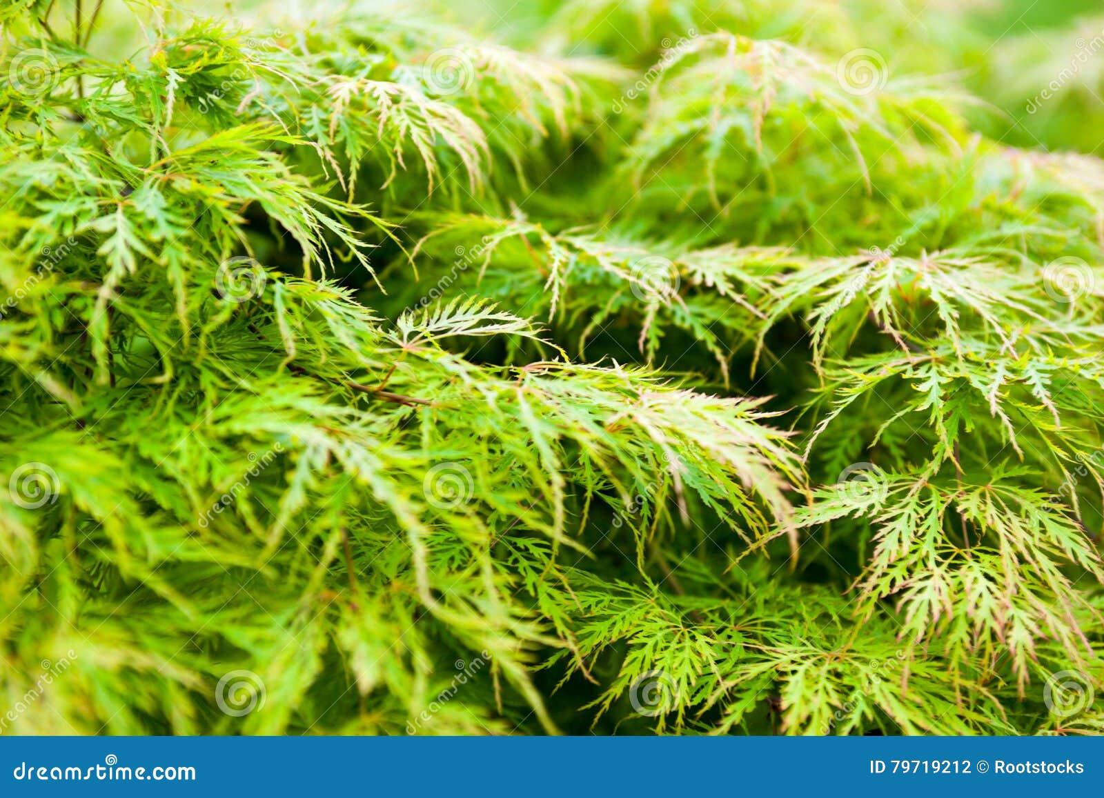 Acero Giapponese Verde foglie verdi dell'acer palmatum dell'acero giapponese