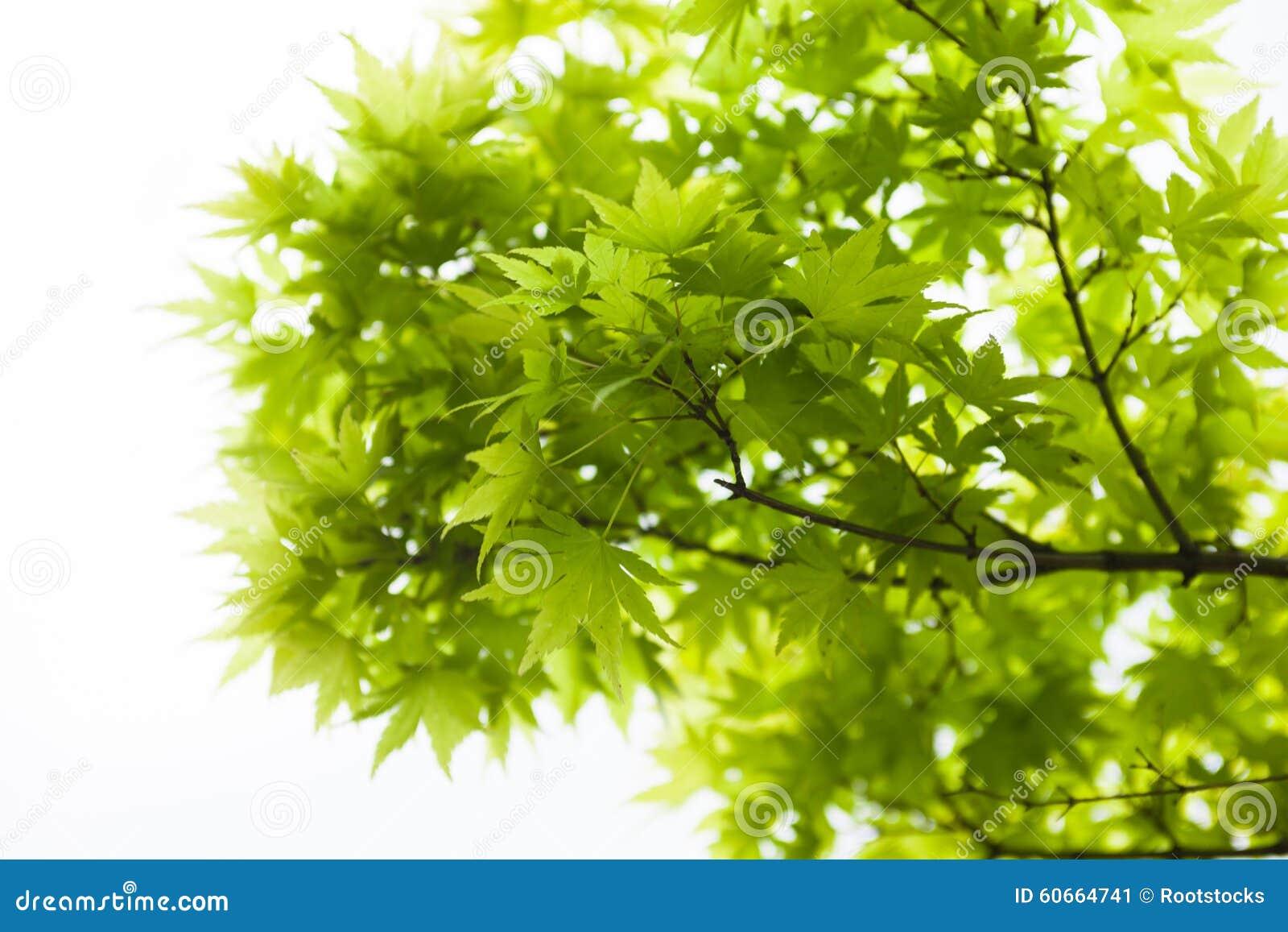 Acero Giapponese Verde foglie verdi dell'acero giapponese (acer palmatum) immagine