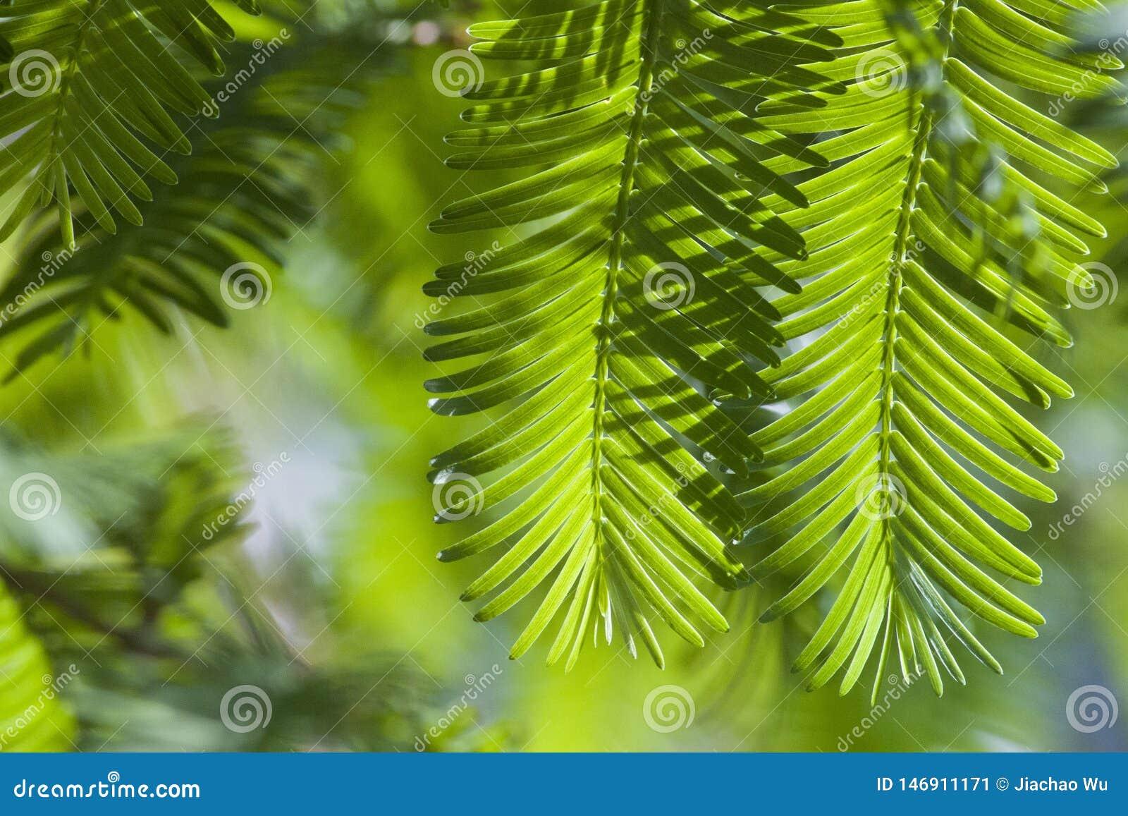 Foglie verdi 2 della primavera e di estate di Metasequoia