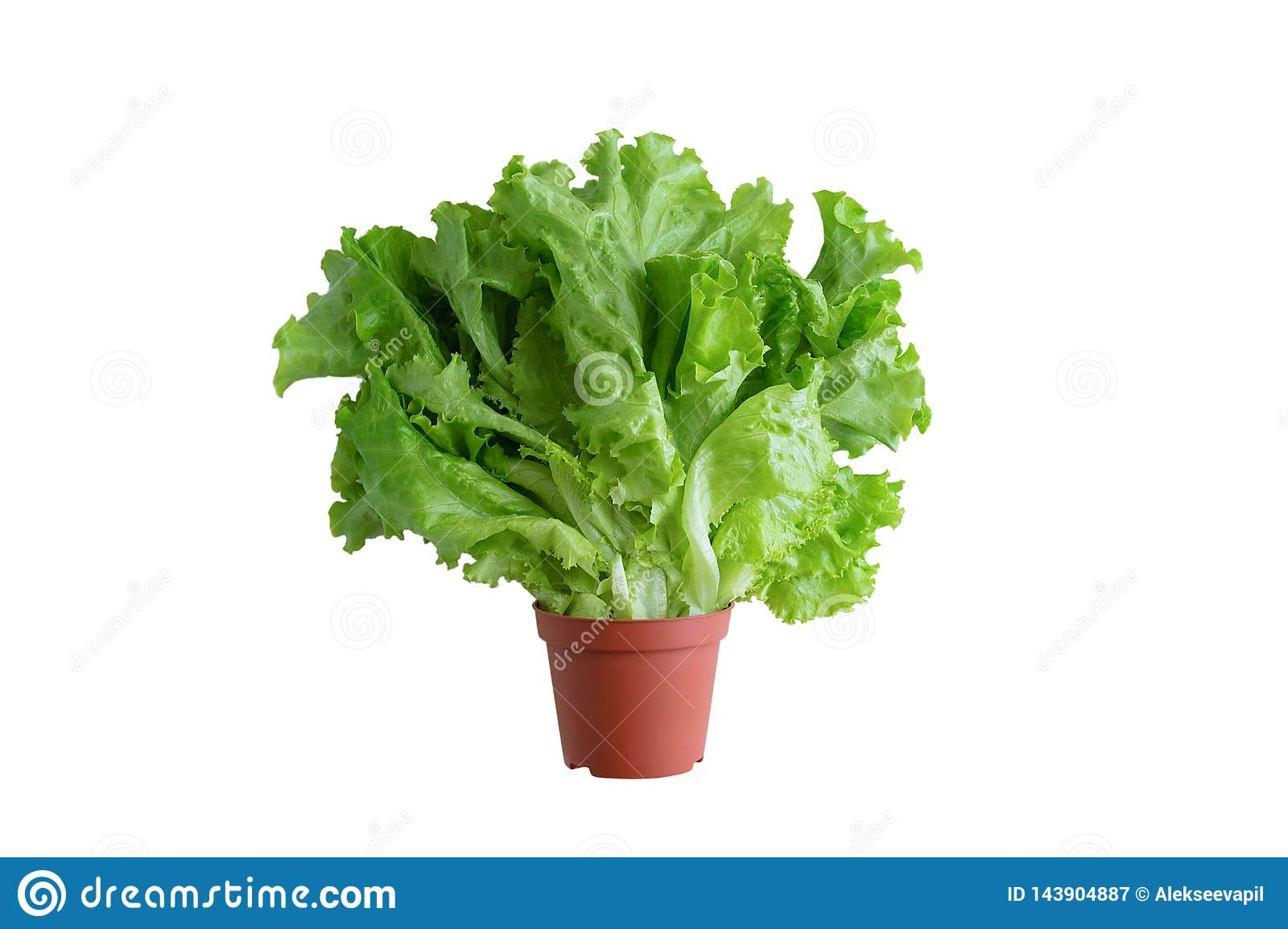 Foglie verdi di lattuga fresca in un vaso marrone