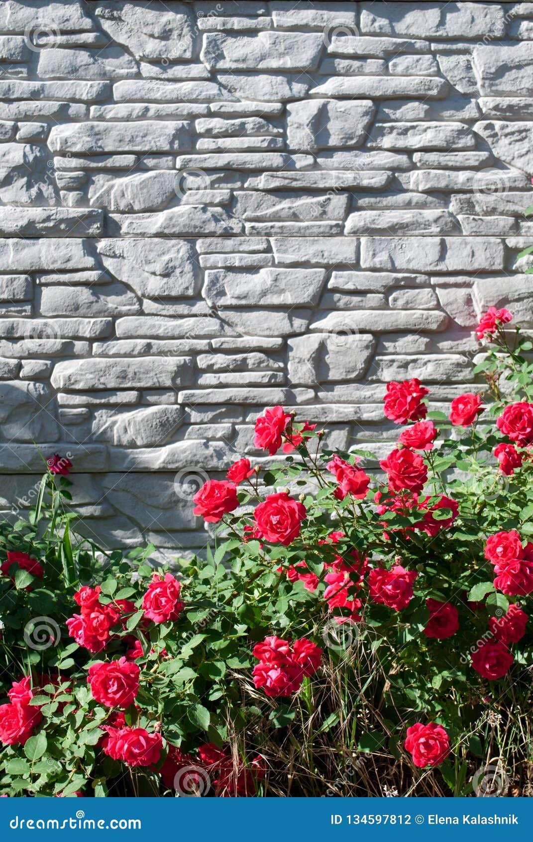 Piante Di Rose Rampicanti foglie verdi di una pianta rampicante e dei fiori di una