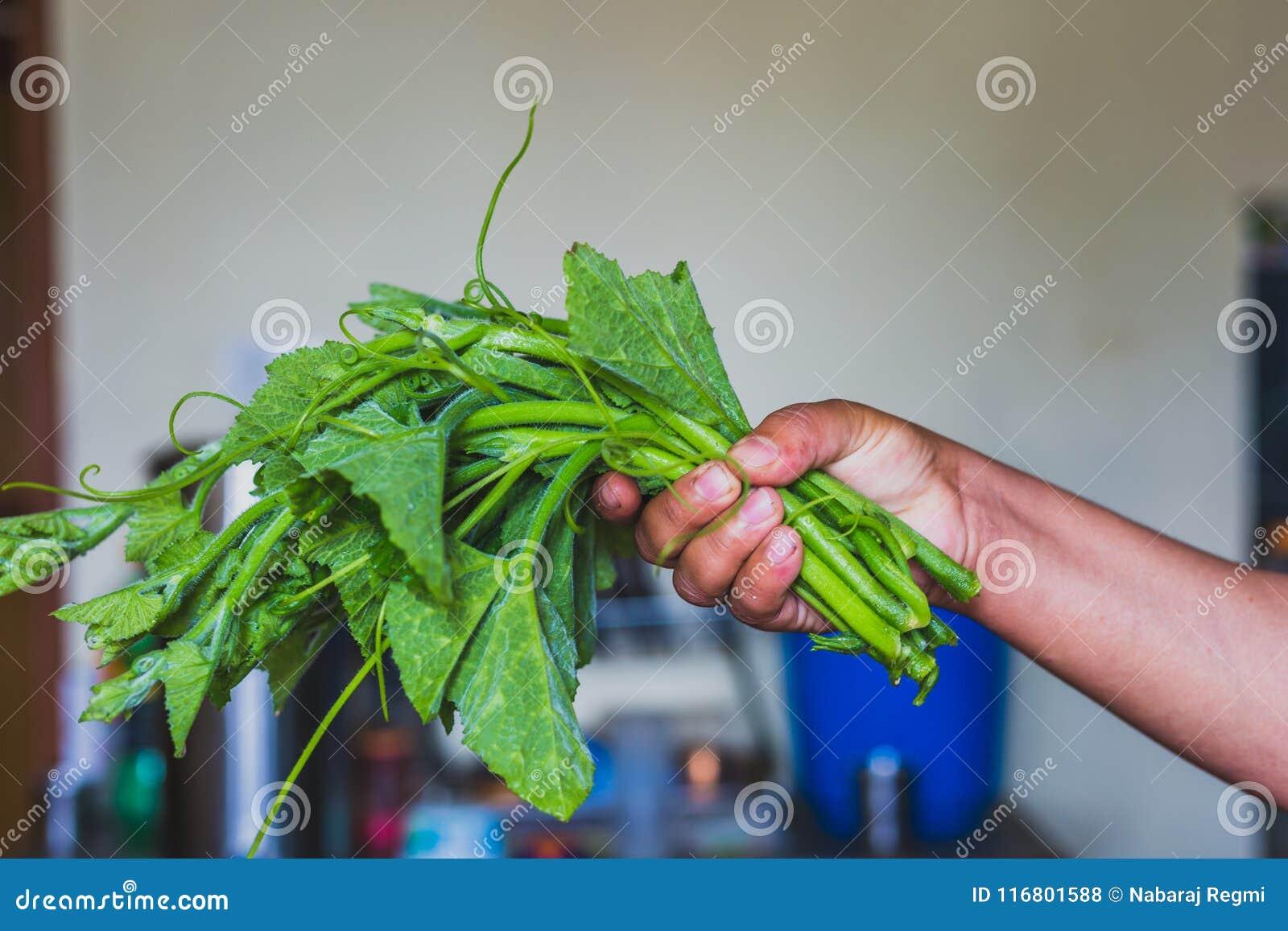 Foglie verdi fresche della zucca con la mano