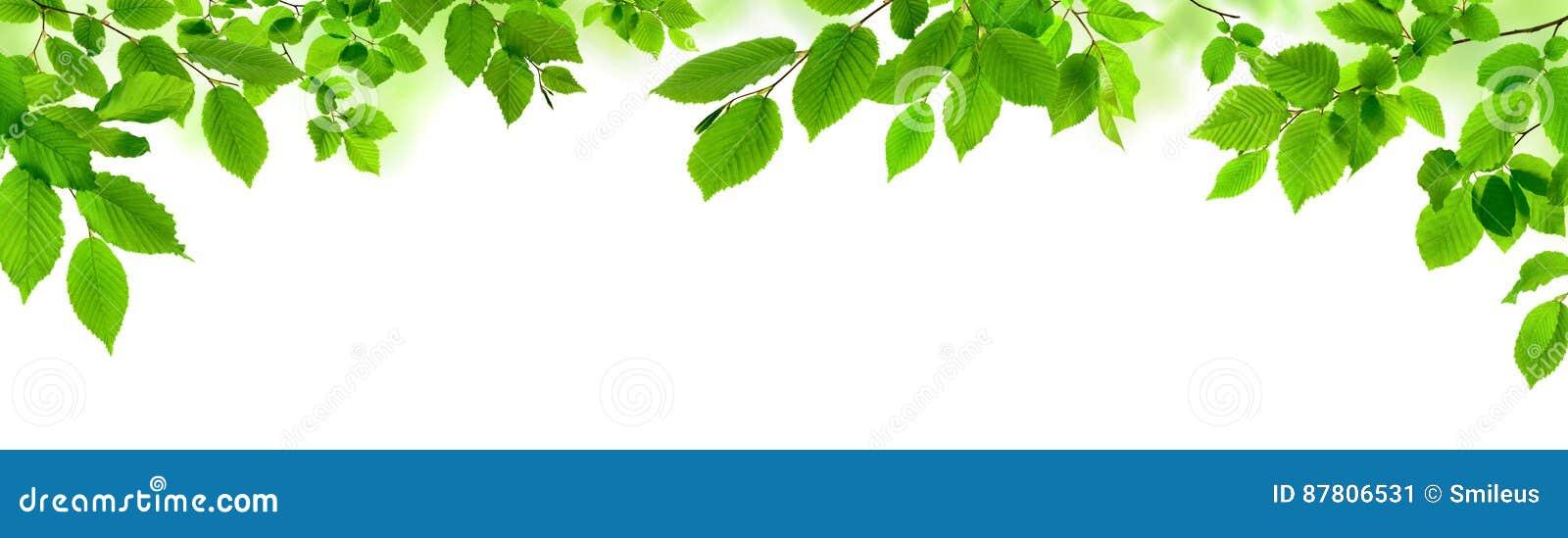 Foglie verdi su bianco come ampio confine