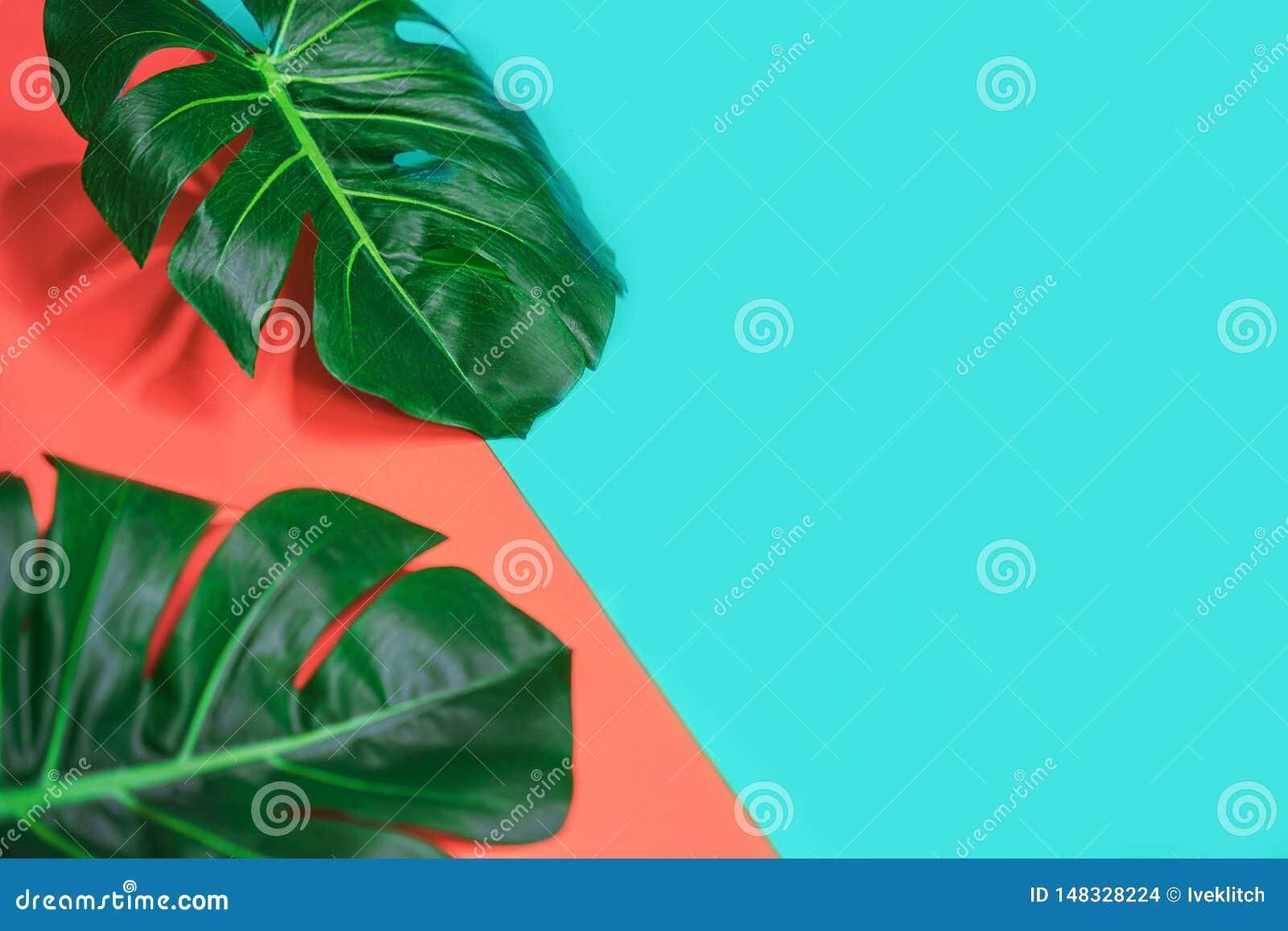 Foglie verdi tropicali di monstera della palma o pianta del formaggio svizzero su corallo rosa e su fondo blu