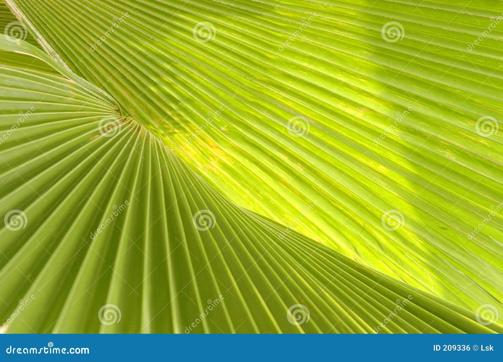 Foglio della palma
