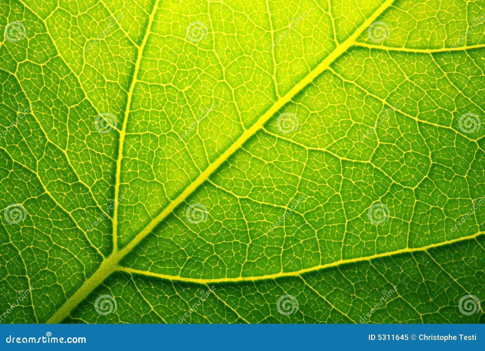 Download Foglio verde immagine stock. Immagine di naughty, riga - 5311645