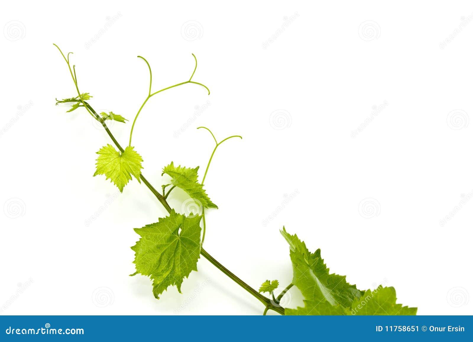 Foglio verde fresco dell uva su bianco isolato