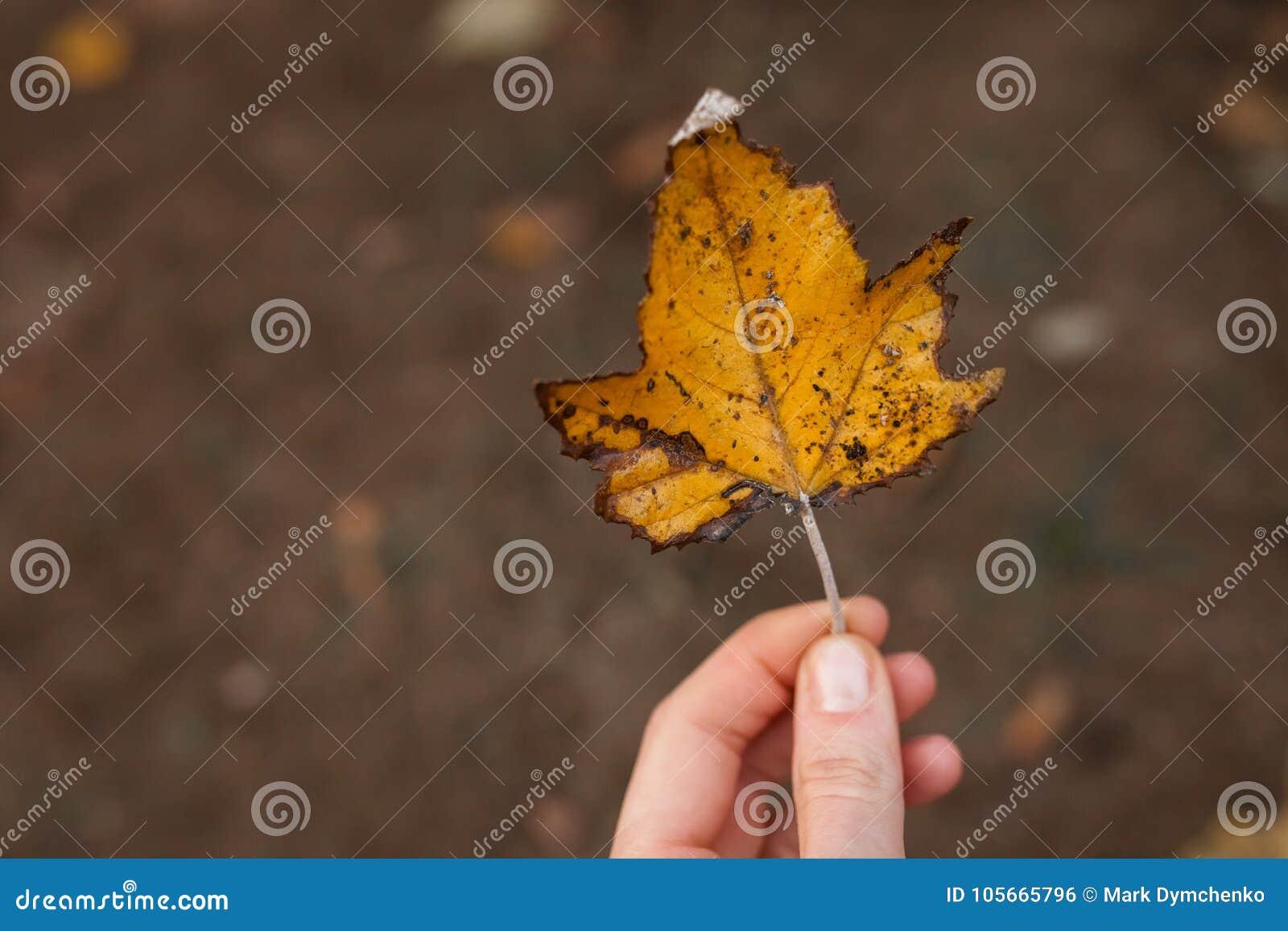 Folha alaranjada bonita do outono, na mão da menina
