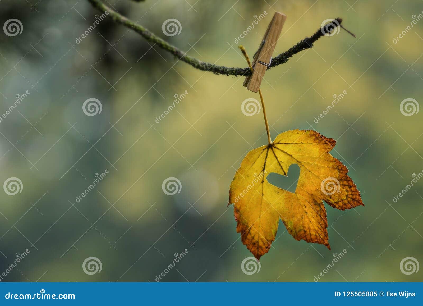 Folha amarela e alaranjada com o coração cortado que pendura no ramo com pregador de roupa