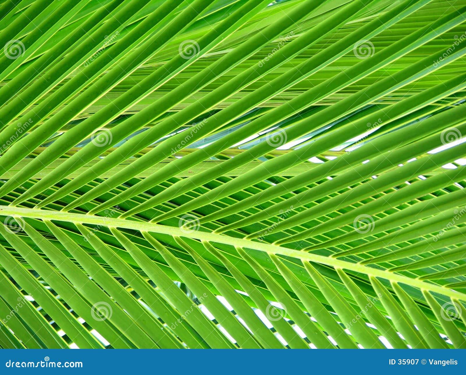 Folha bonita da palmeira