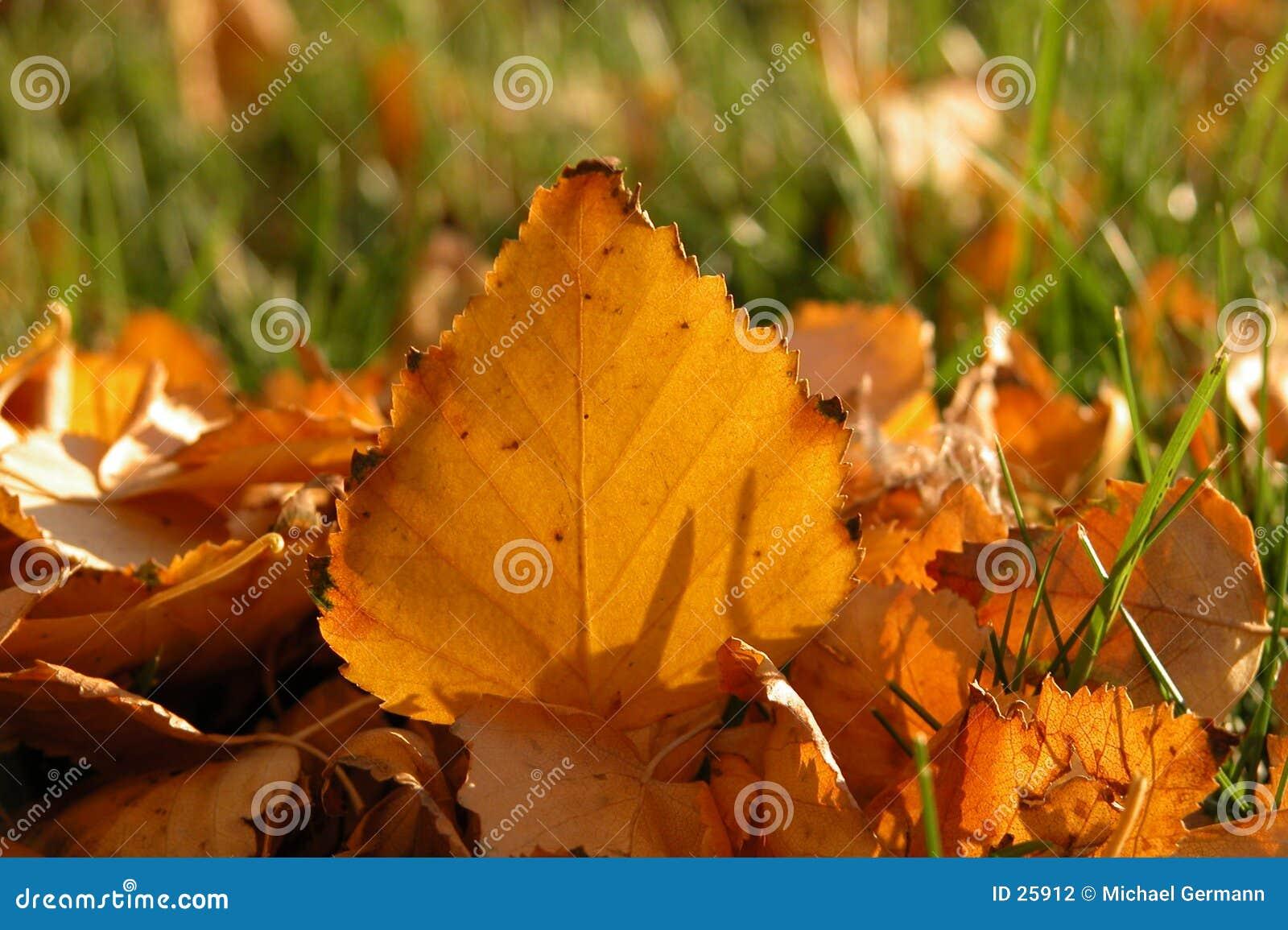 Folha da árvore de vidoeiro