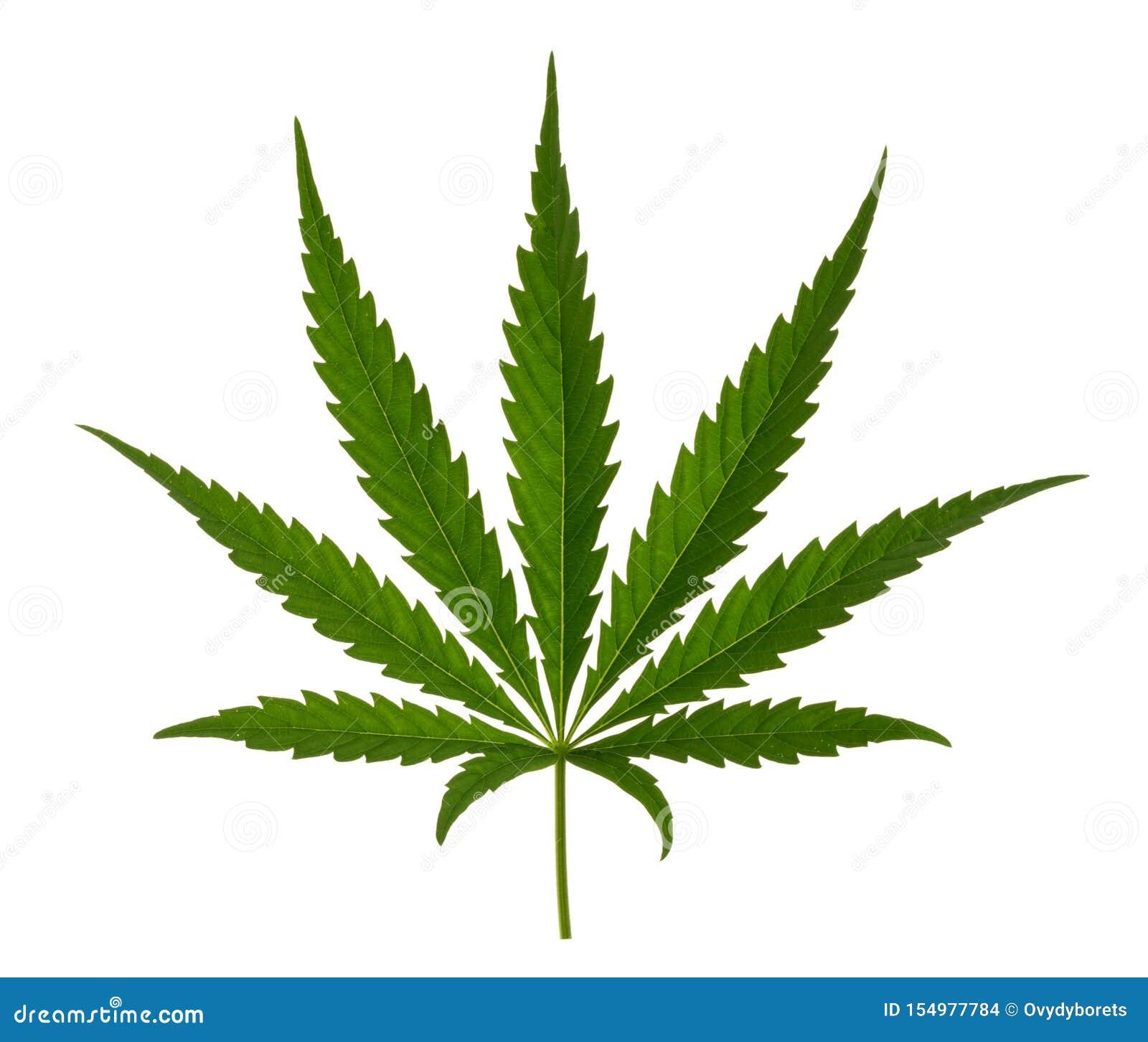 Folha da marijuana isolada no branco sem sombra