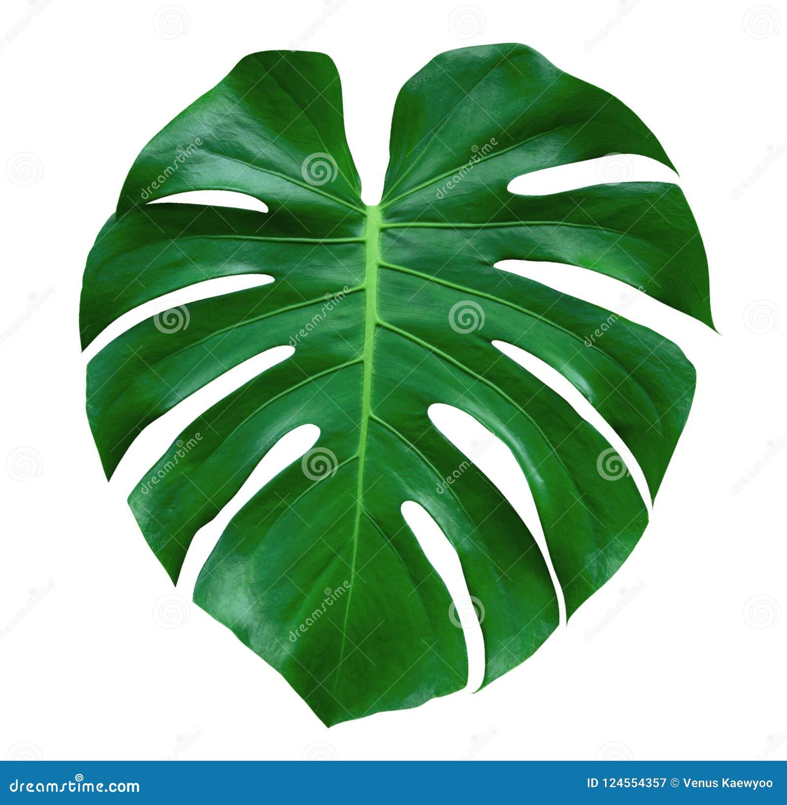 Folha da planta de Monstera, a videira sempre-verde tropical isolada no fundo branco, trajeto