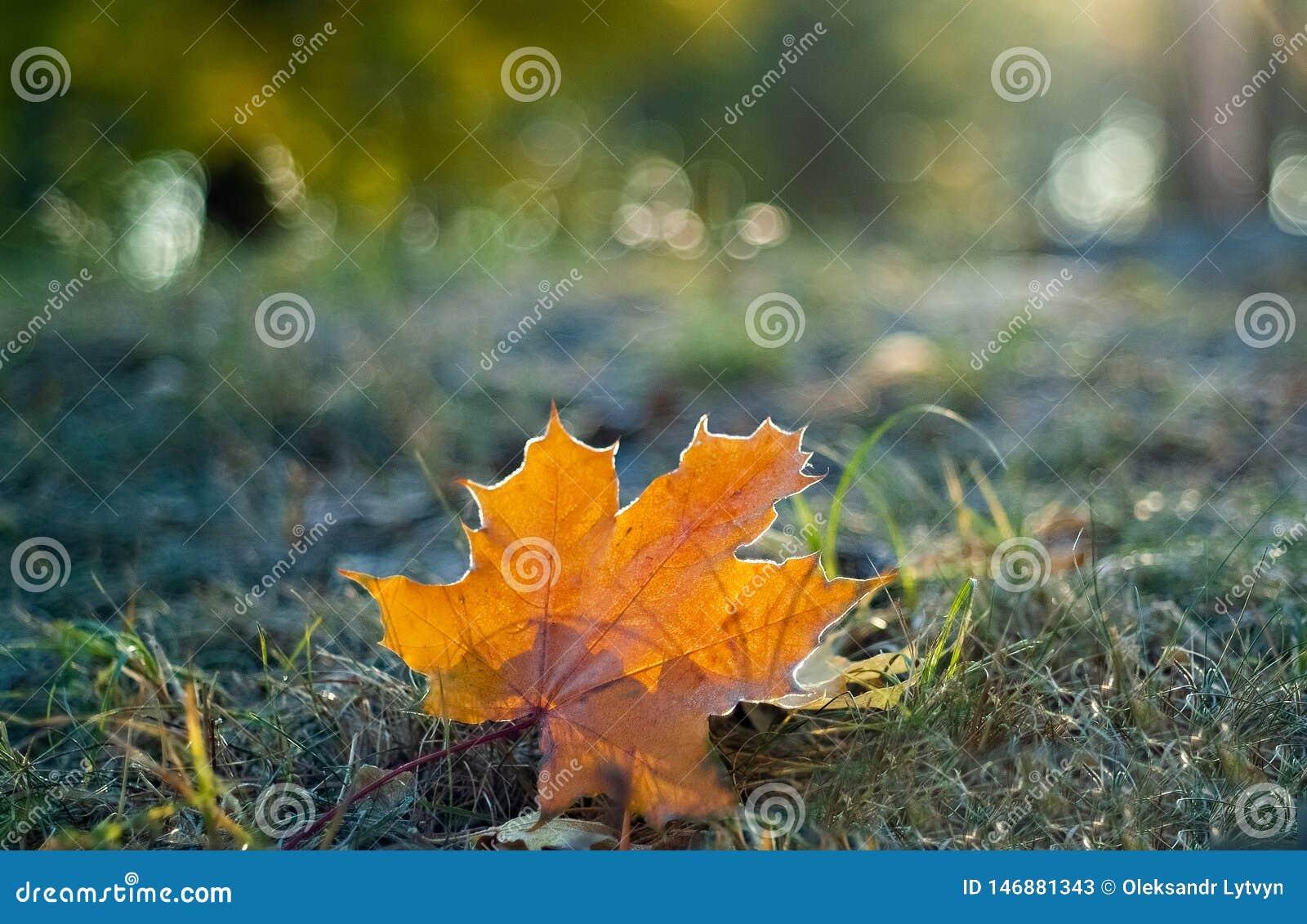 Folha de bordo alaranjada na grama na geada