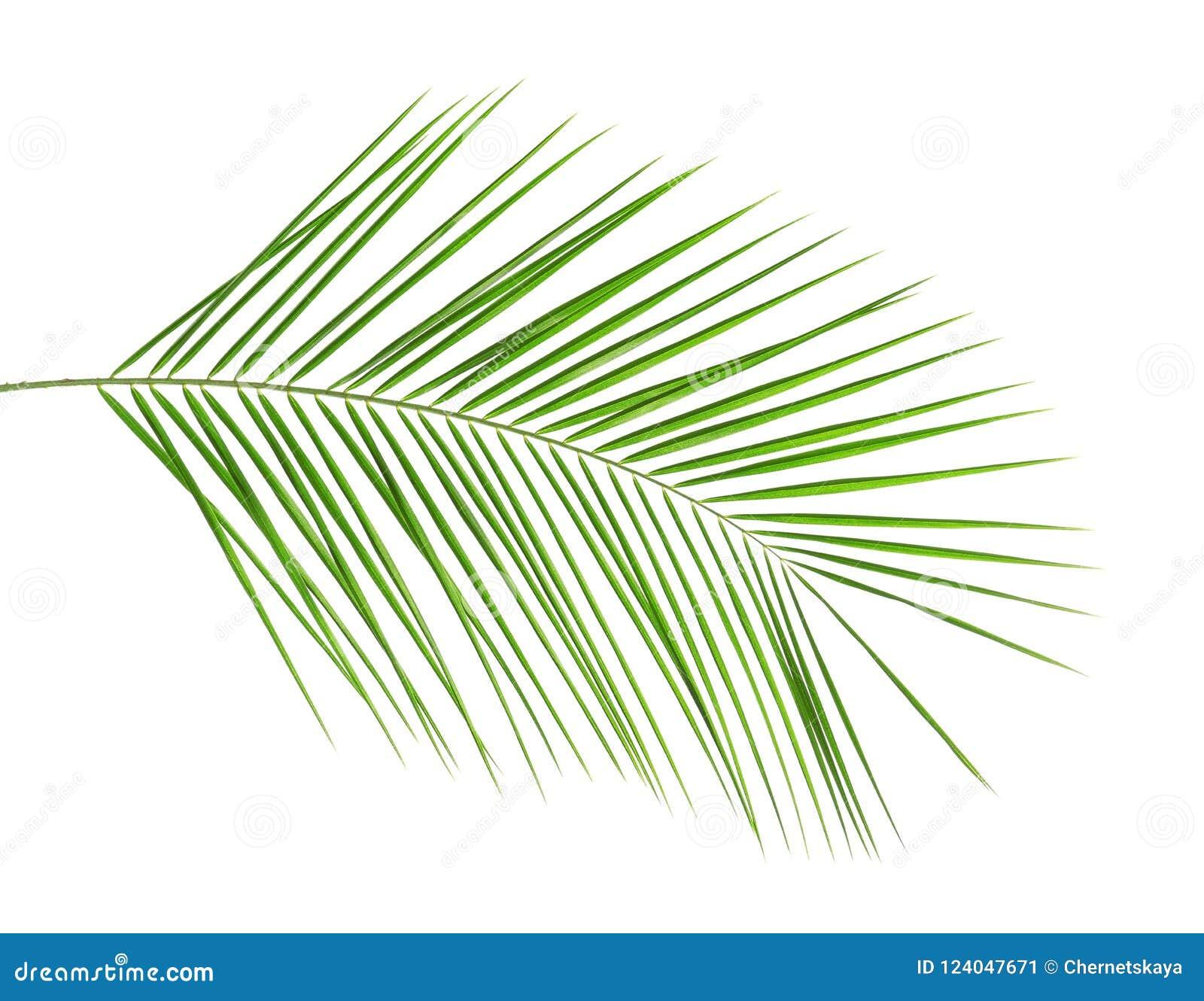 Folha de palmeira tropical fresca da data