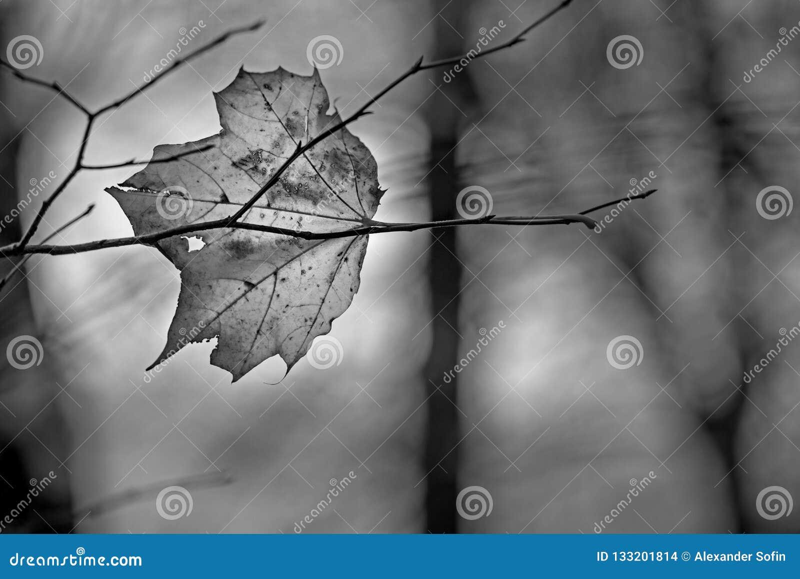 Folha decomposta transparente do outono do bordo que encontra-se no branc desencapado