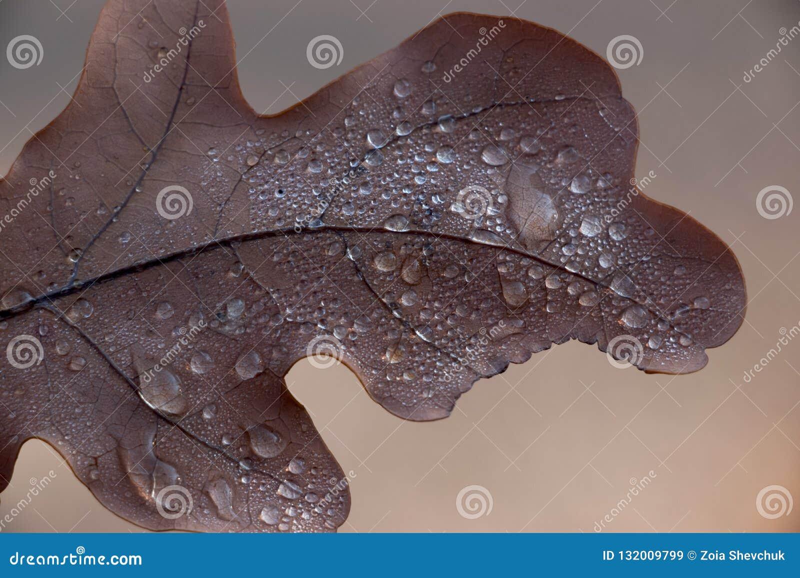 Folha deixada cair do carvalho