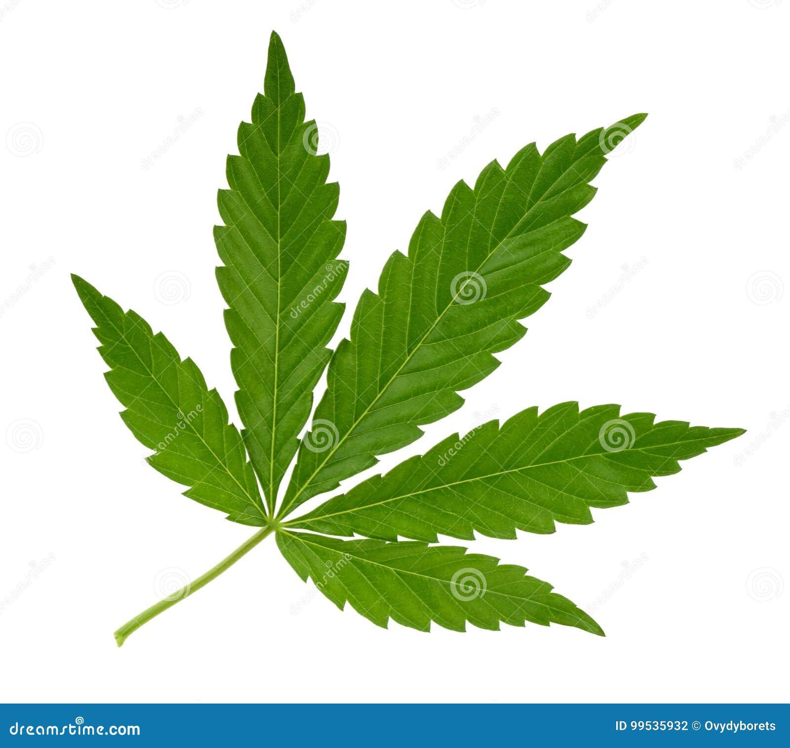 Folha do cannabis isolada no branco sem sombra