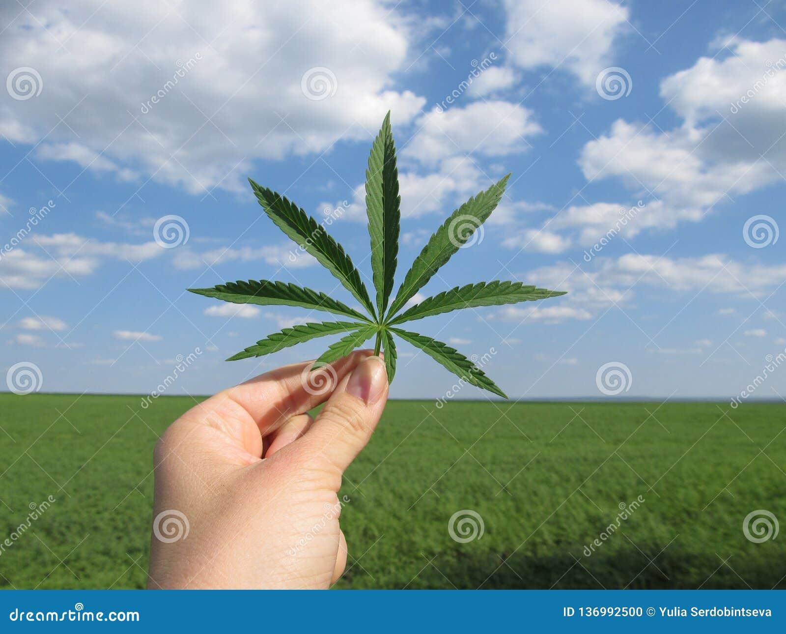 Folha do cannabis na mão contra um céu nebuloso azul e um campo verde