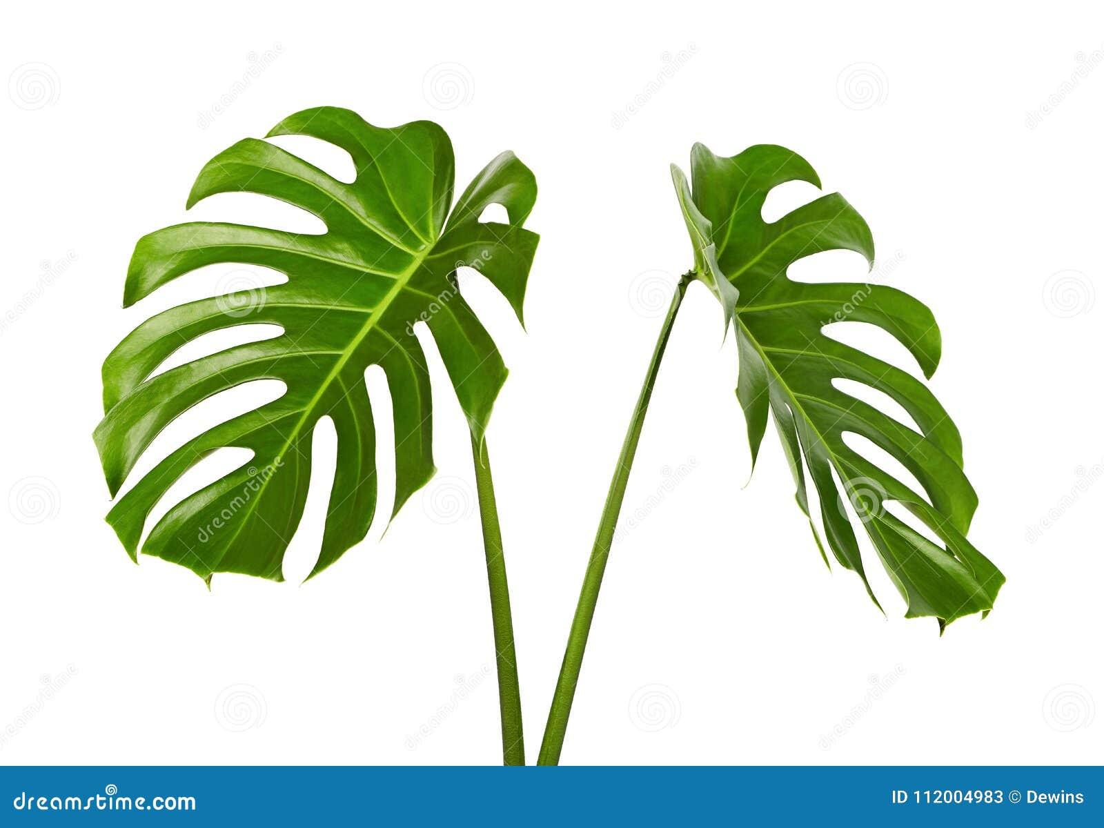 Folha do deliciosa de Monstera ou planta do queijo suíço, folha tropical isolada no fundo branco