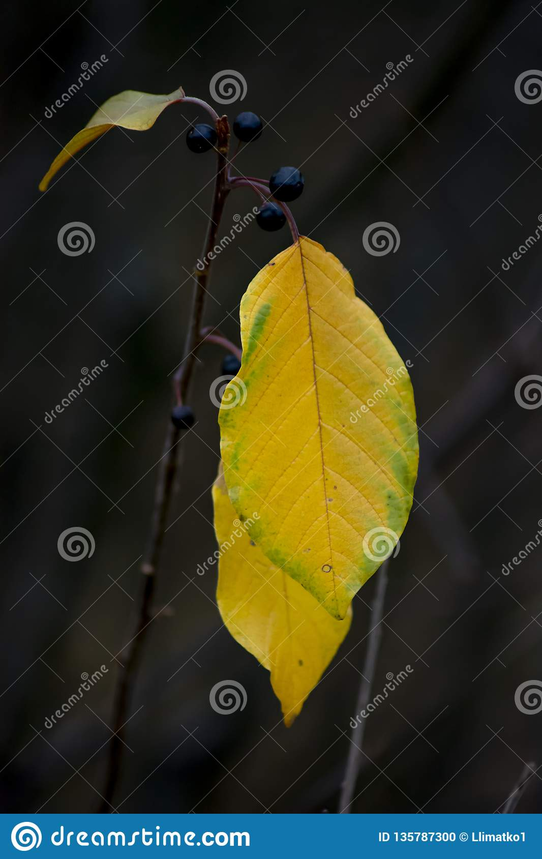 Folha do outono Fundo escuro
