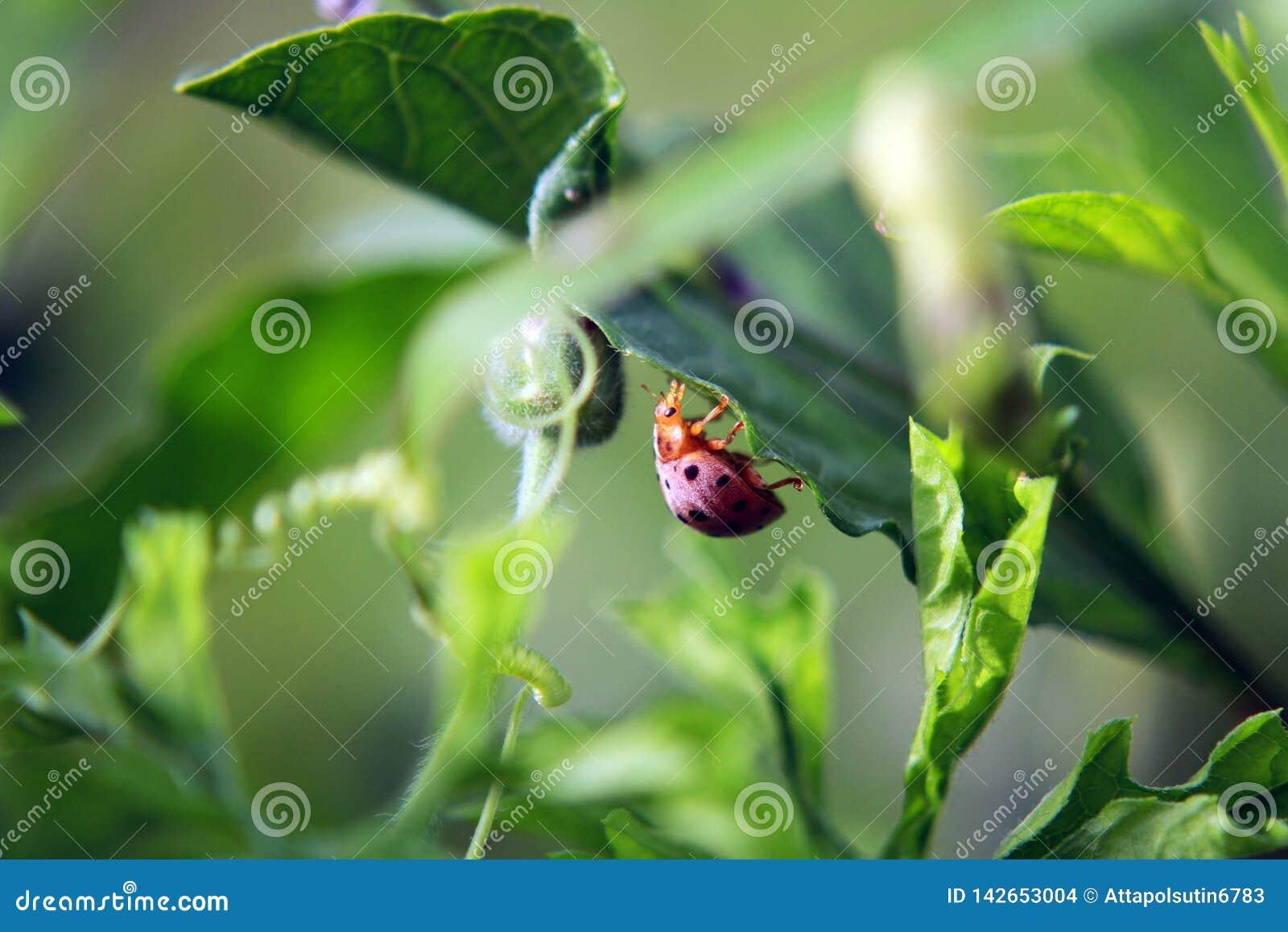 Folha do verde do joaninha em um dia ensolarado
