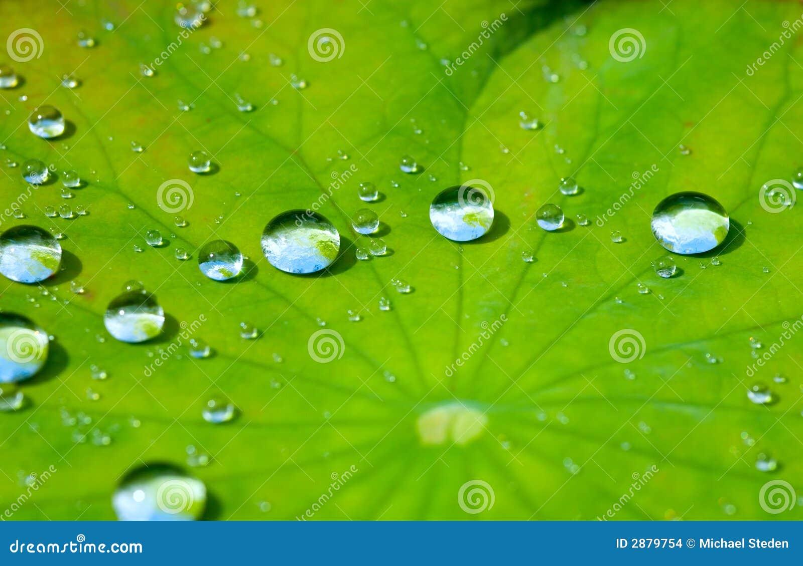 Folha dos lótus com gota da água