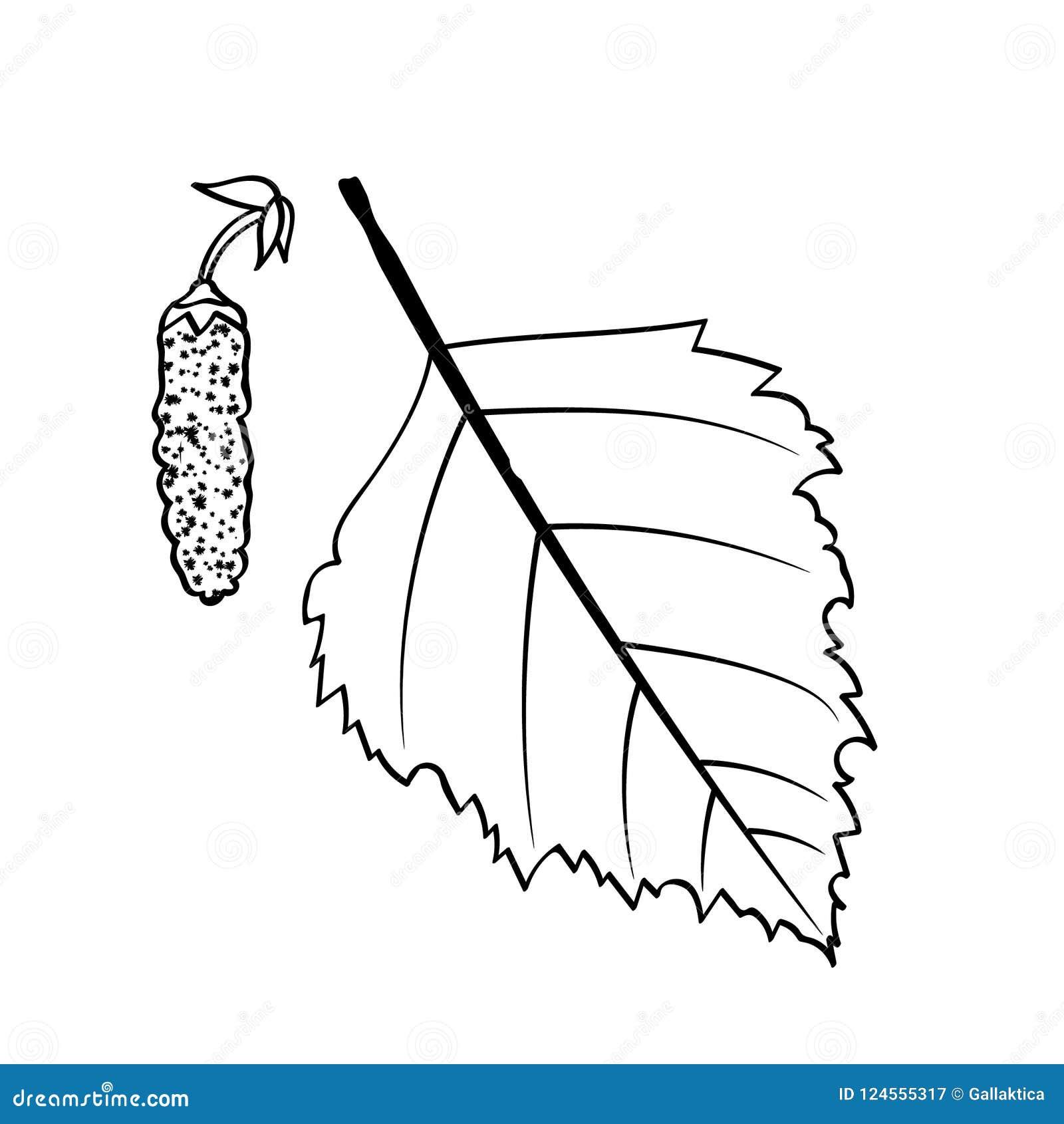 Folha e sementes do vidoeiro
