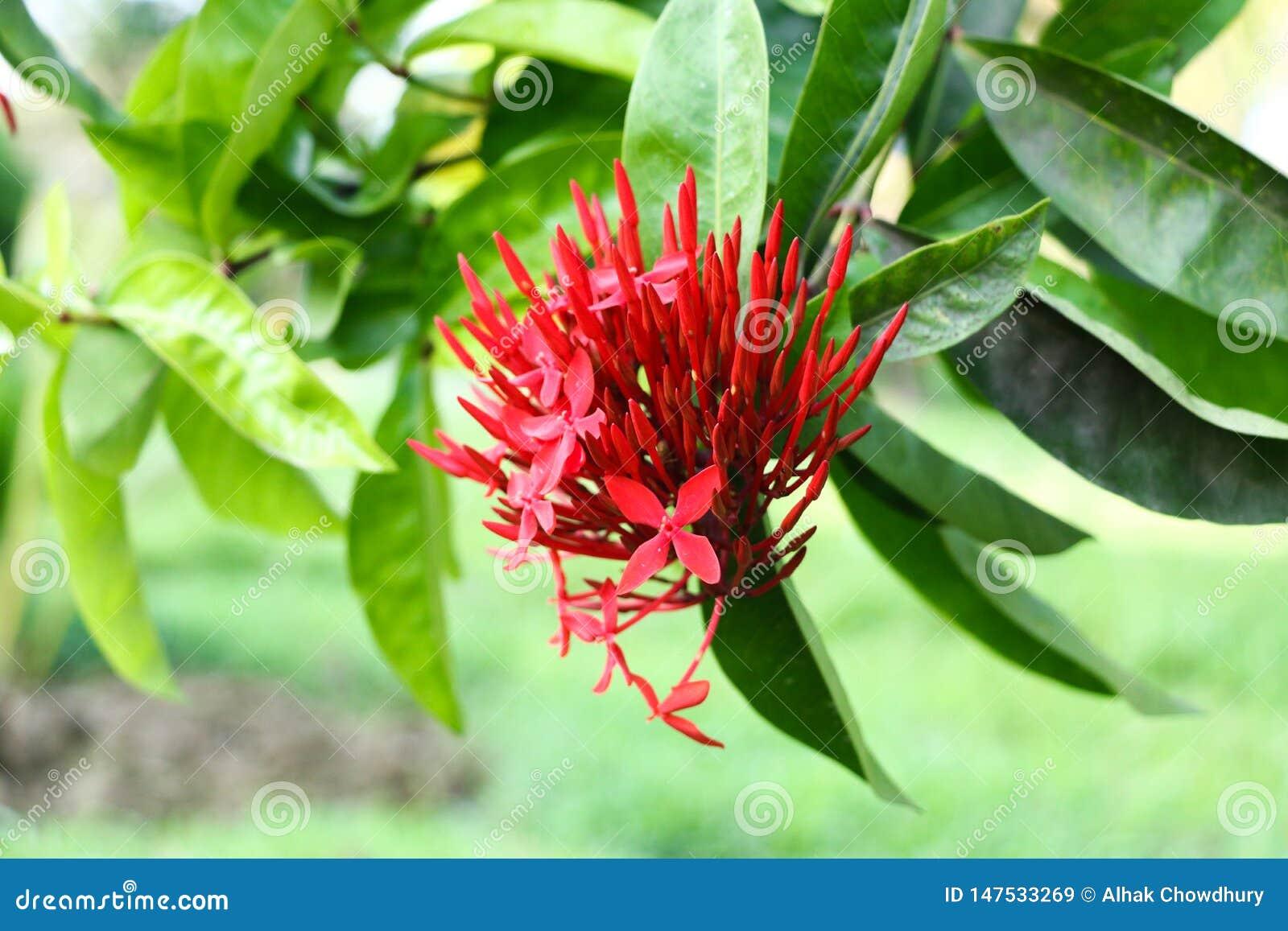 Folha mais azul do verde do fundo da flor vermelha