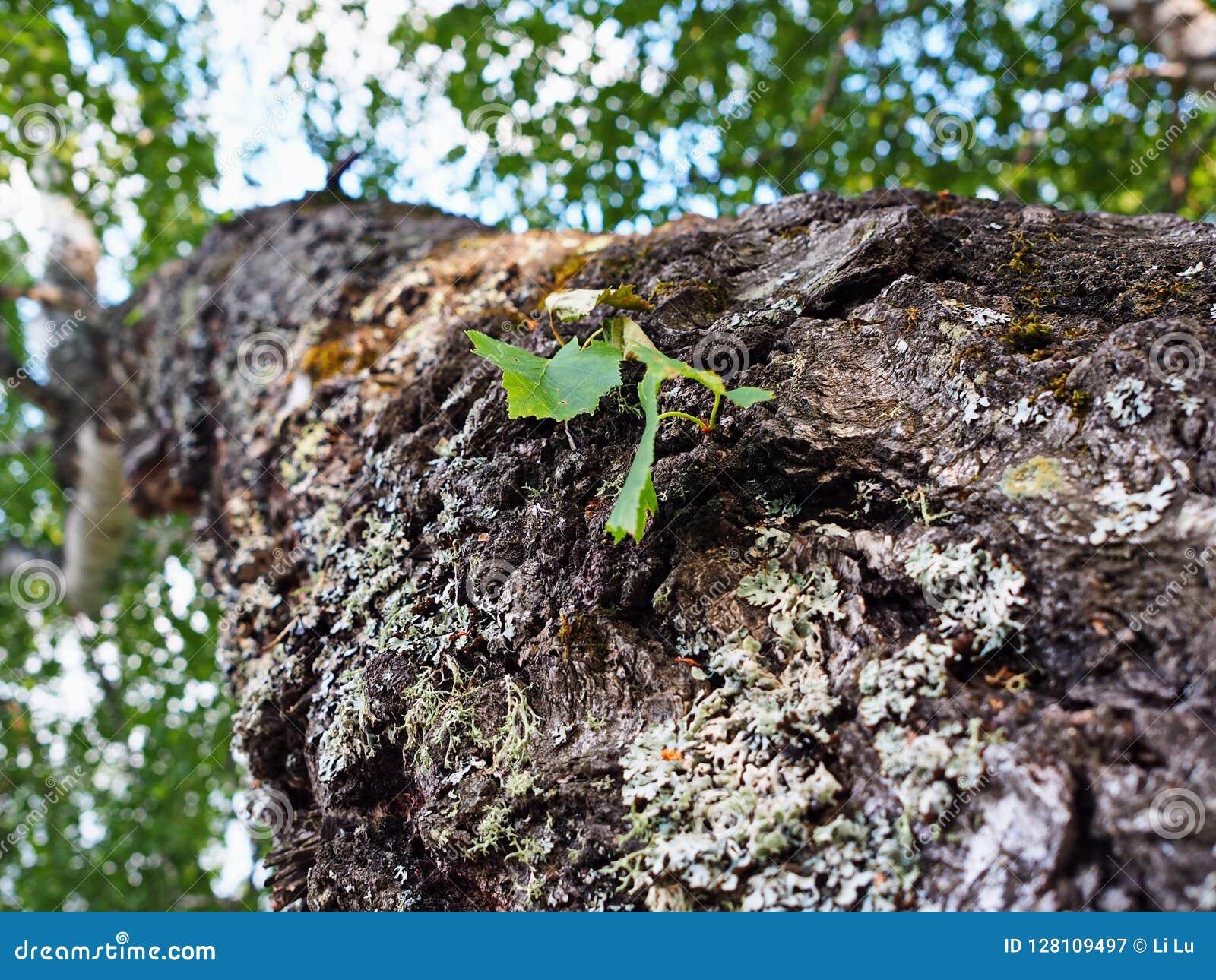 Folha nova em uma árvore de vidoeiro