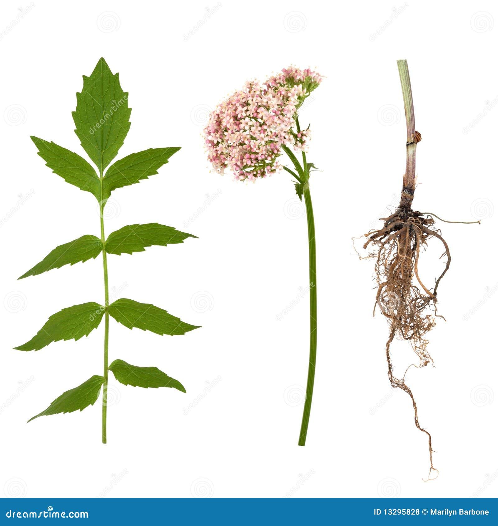 Folha, raiz e flor do Valerian