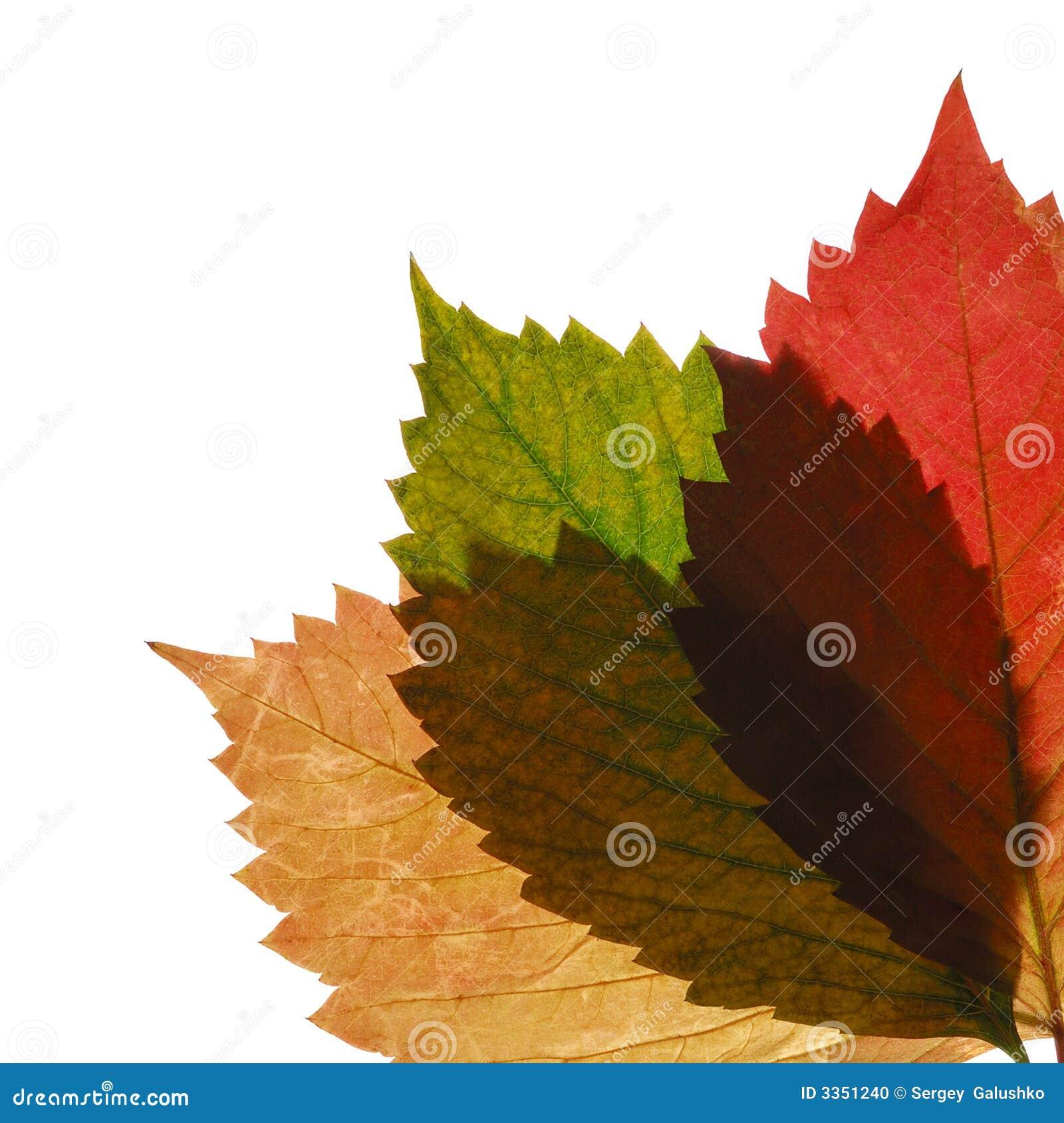 Folha transparente do outono três