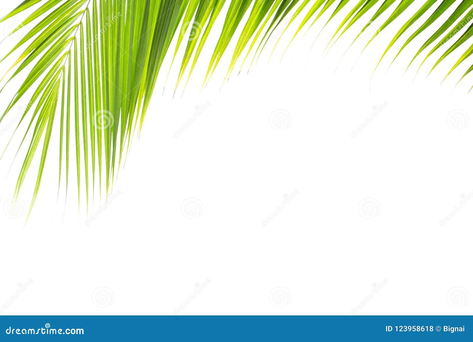 Folha tropical verde do coco isolada no fundo branco