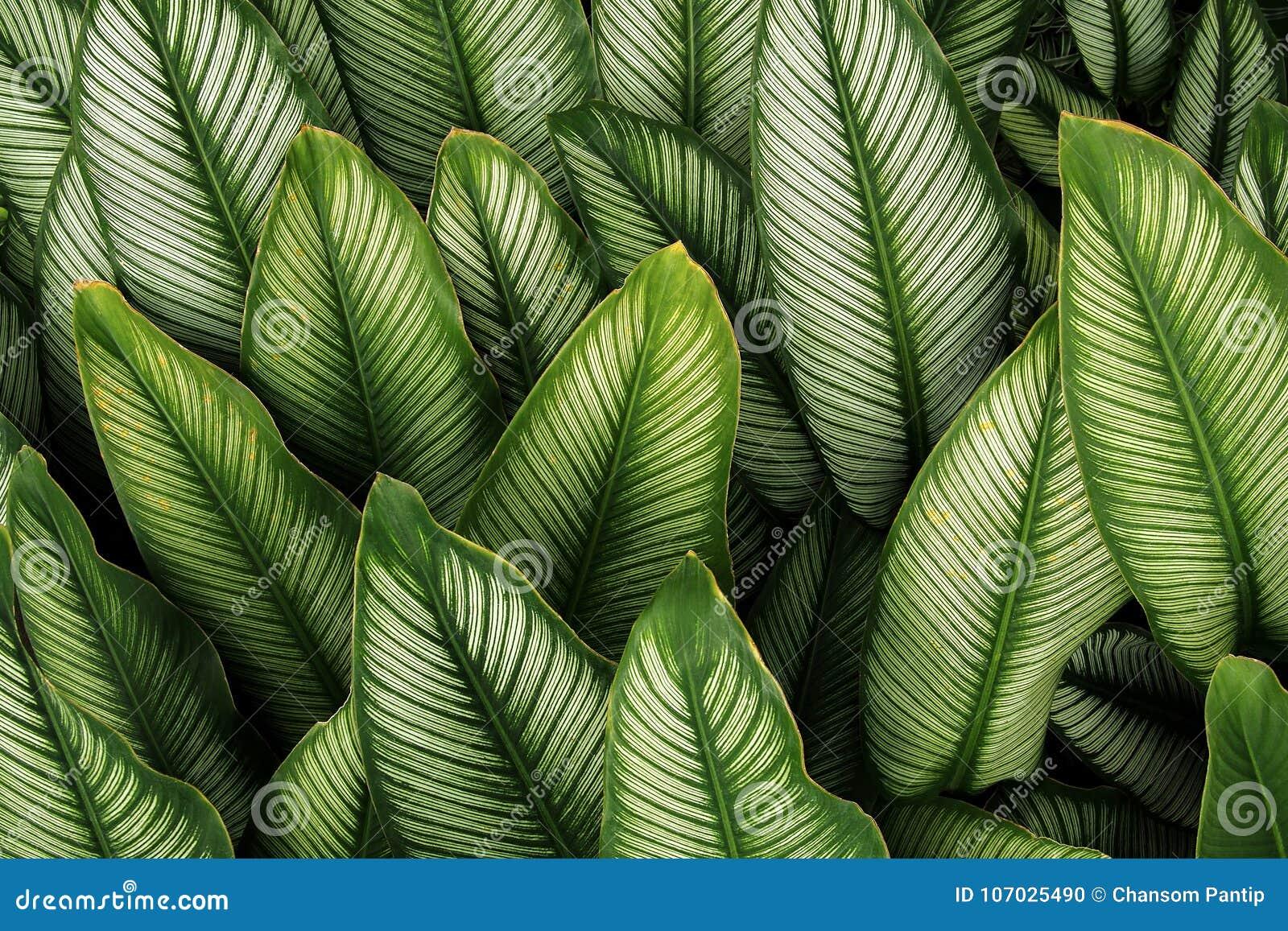 Folha verde com as listras brancas do majestica de Calathea, f tropical