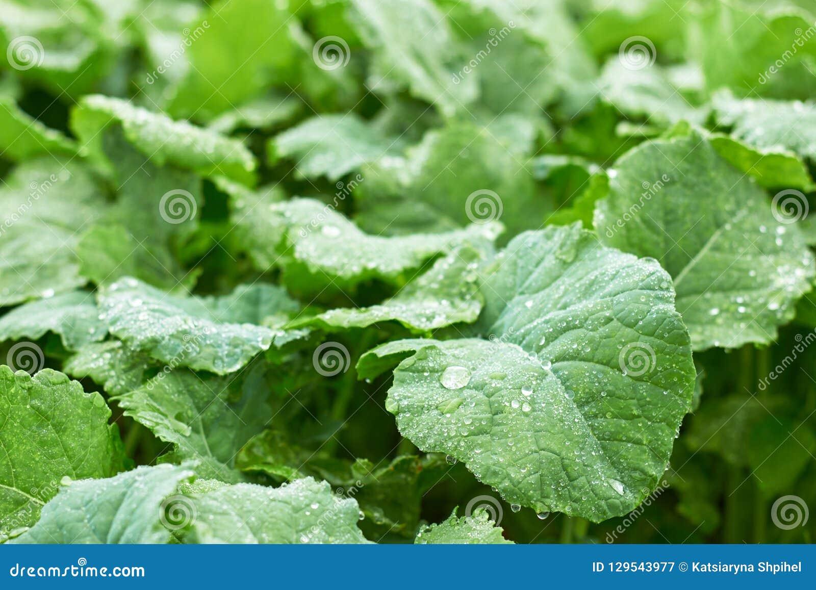 Folha verde com gotas da água na cama no campo após a chuva, espaço da violação da cópia, close up, macro