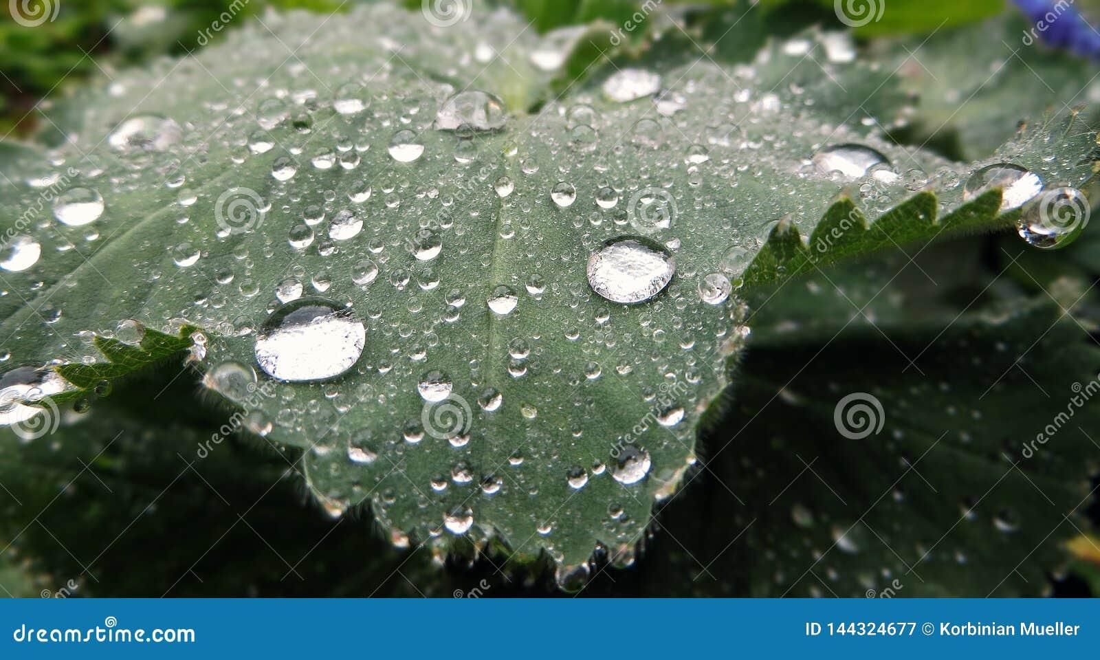Folha verde com muitas gotas da ?gua