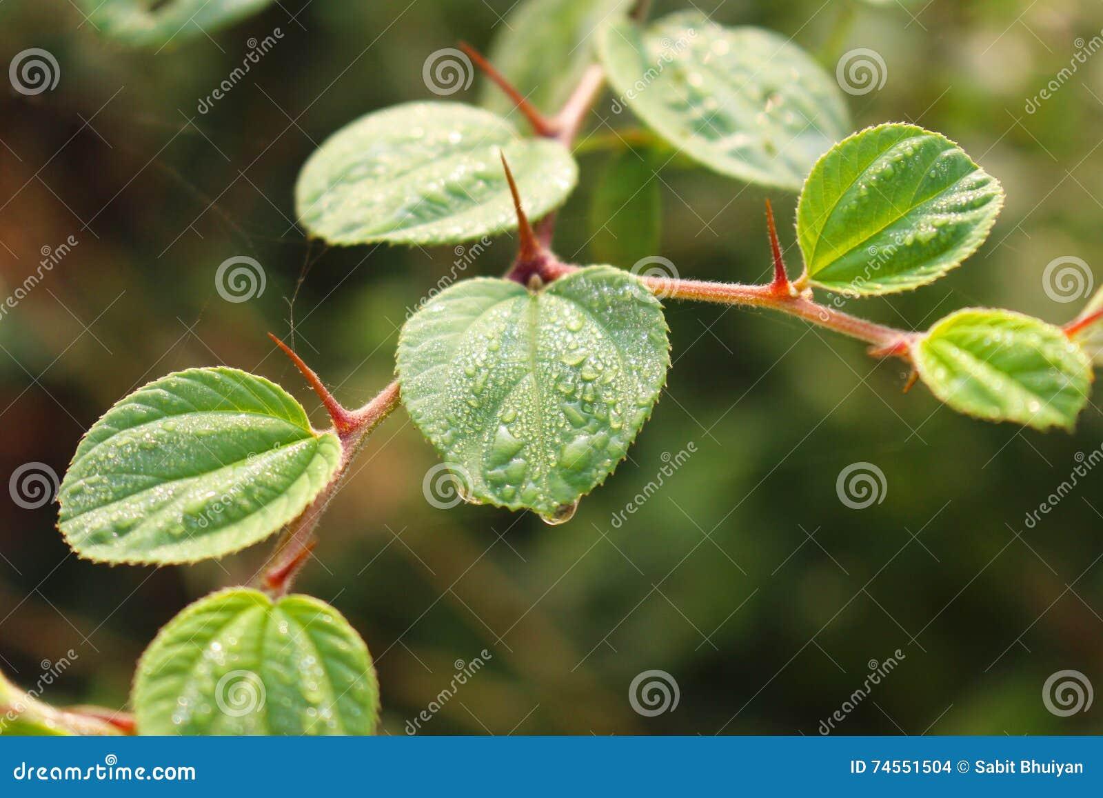 Folha verde do jujuba