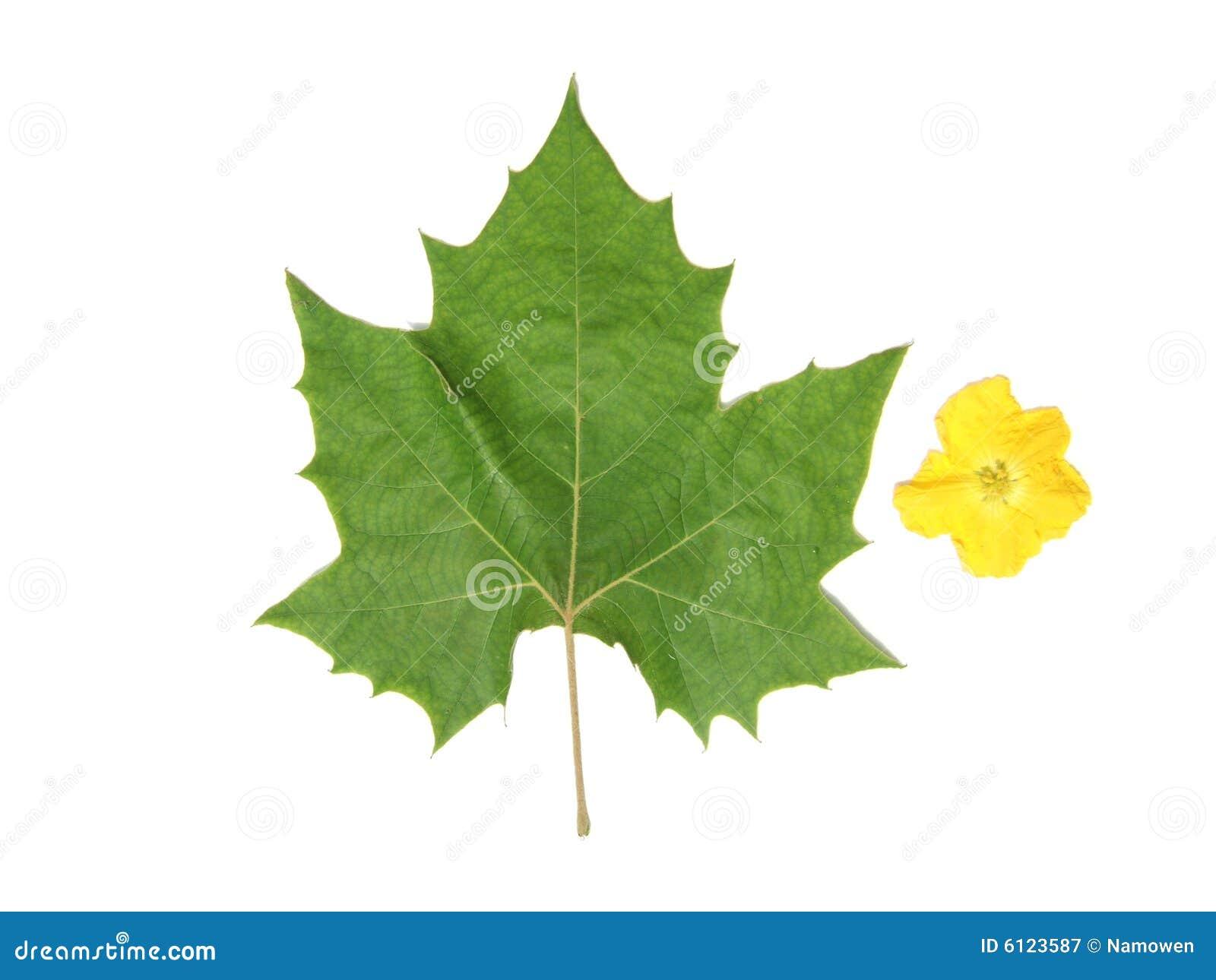 Folha verde e flor amarela