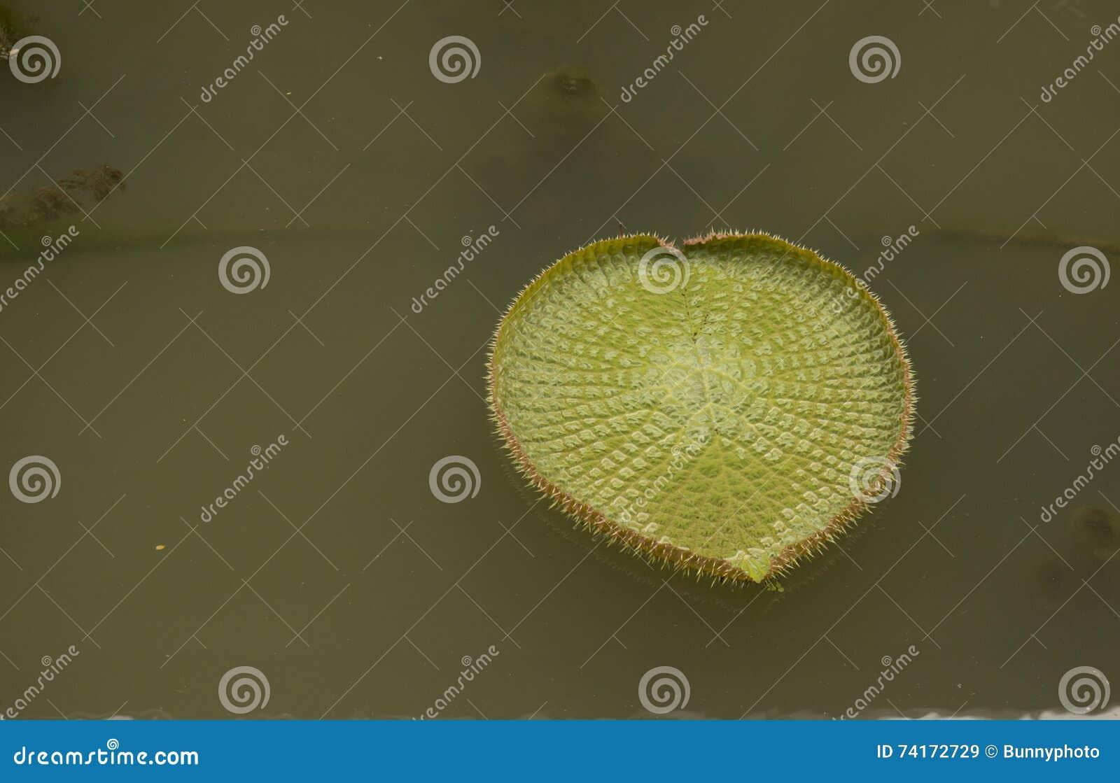 Folha verde grande de Victoria & de x28; shaped& x29 do coração;