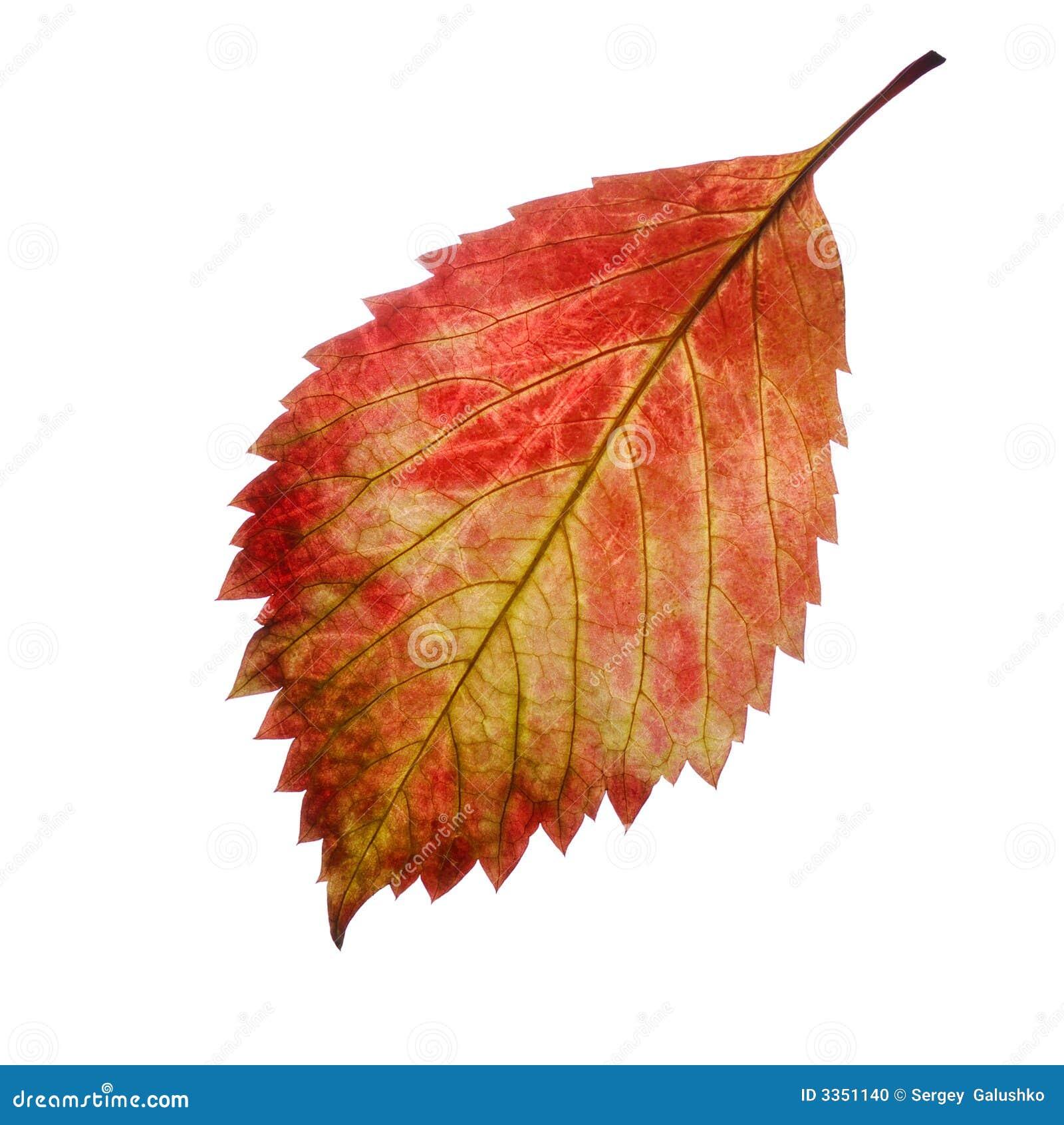 Folha vermelha do outono