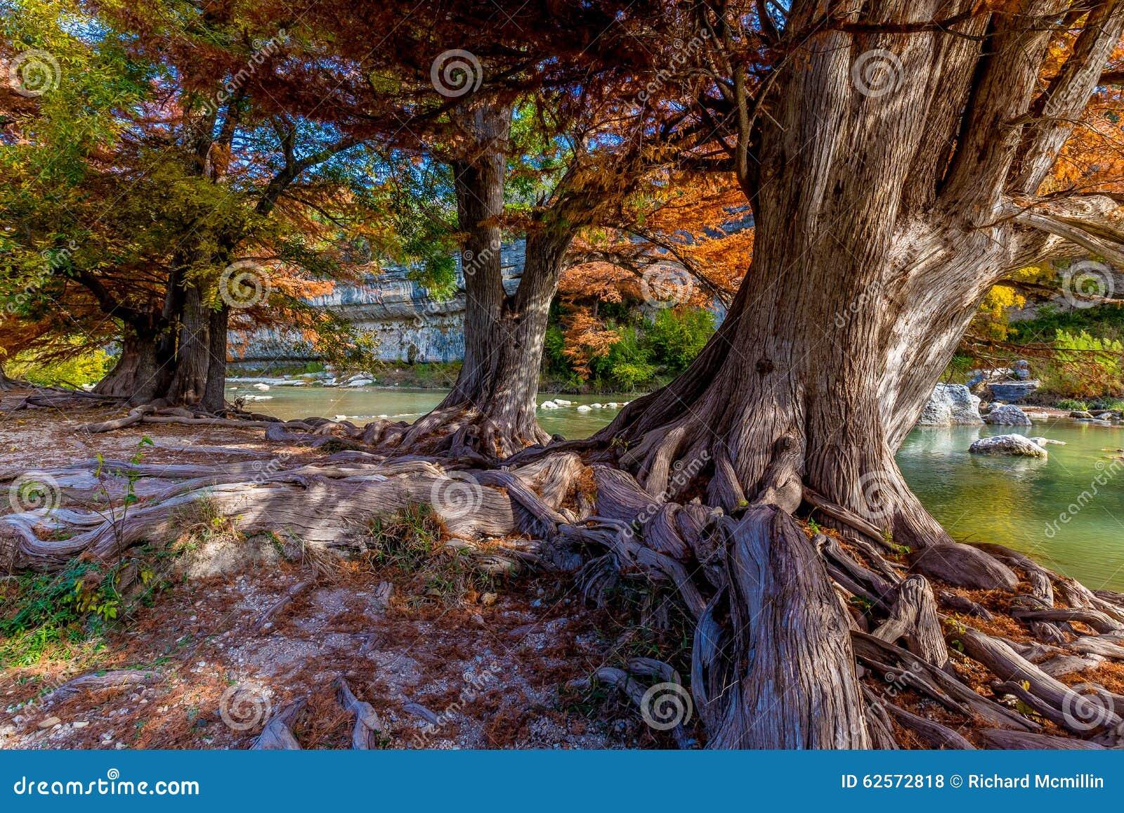 Folhagem de outono em árvores de Cypress antigas em Guadalupe State Park, Texas