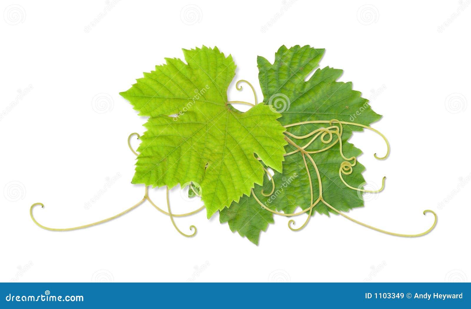 Folhas 03 da uva
