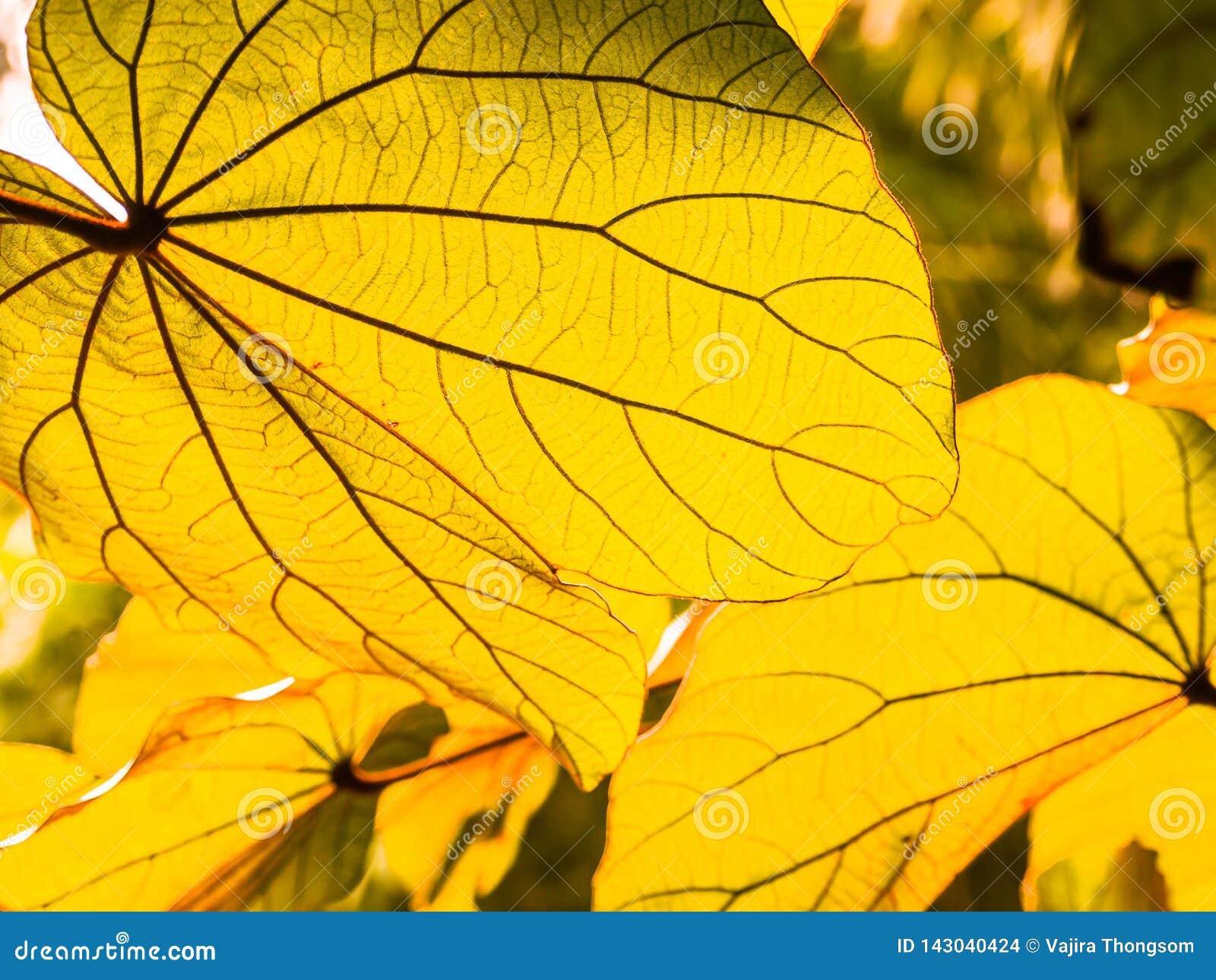 Folhas amarelas do outono na luz do sol