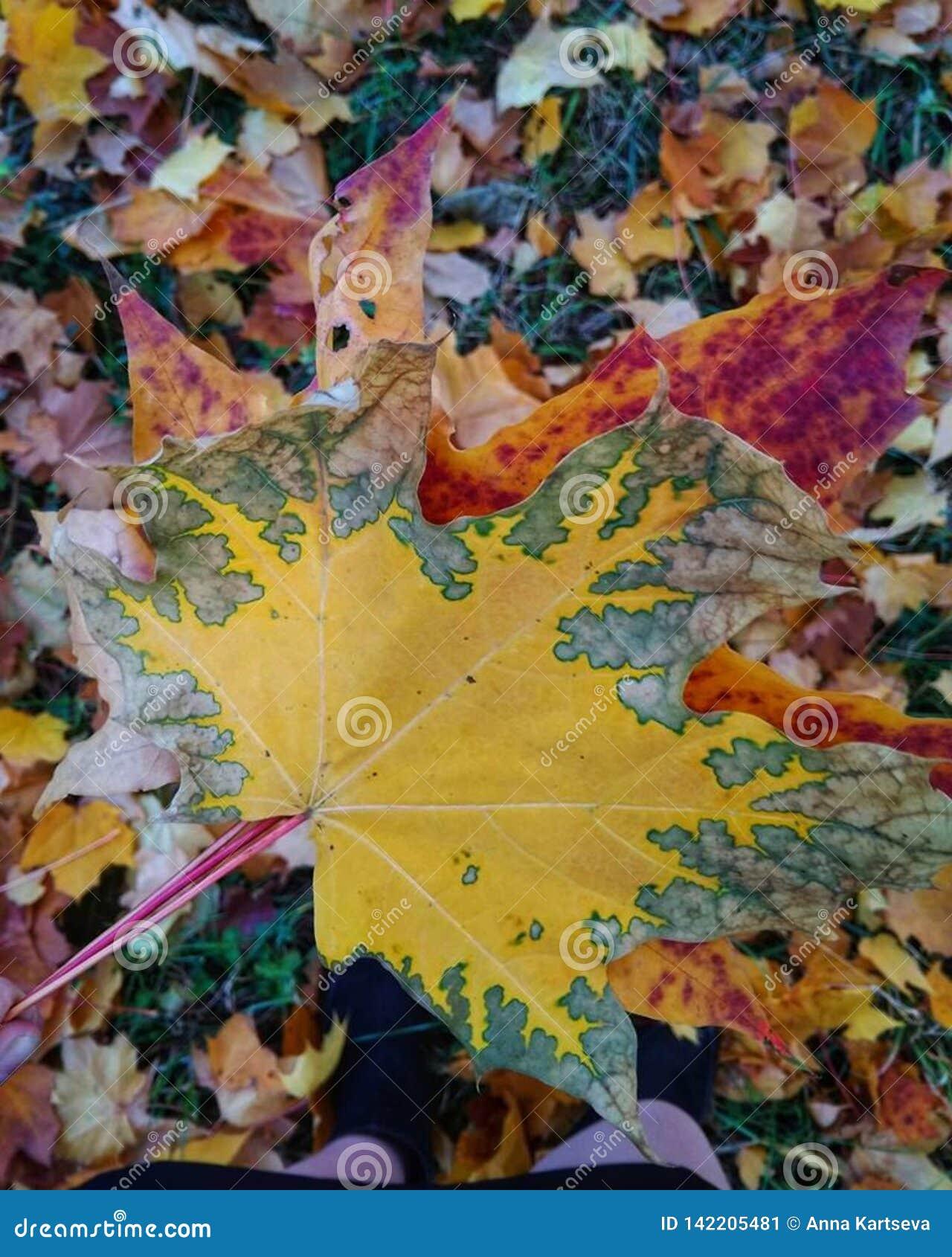 Folhas brilhantes outono, outubro Fundo Folha de plátano isolada