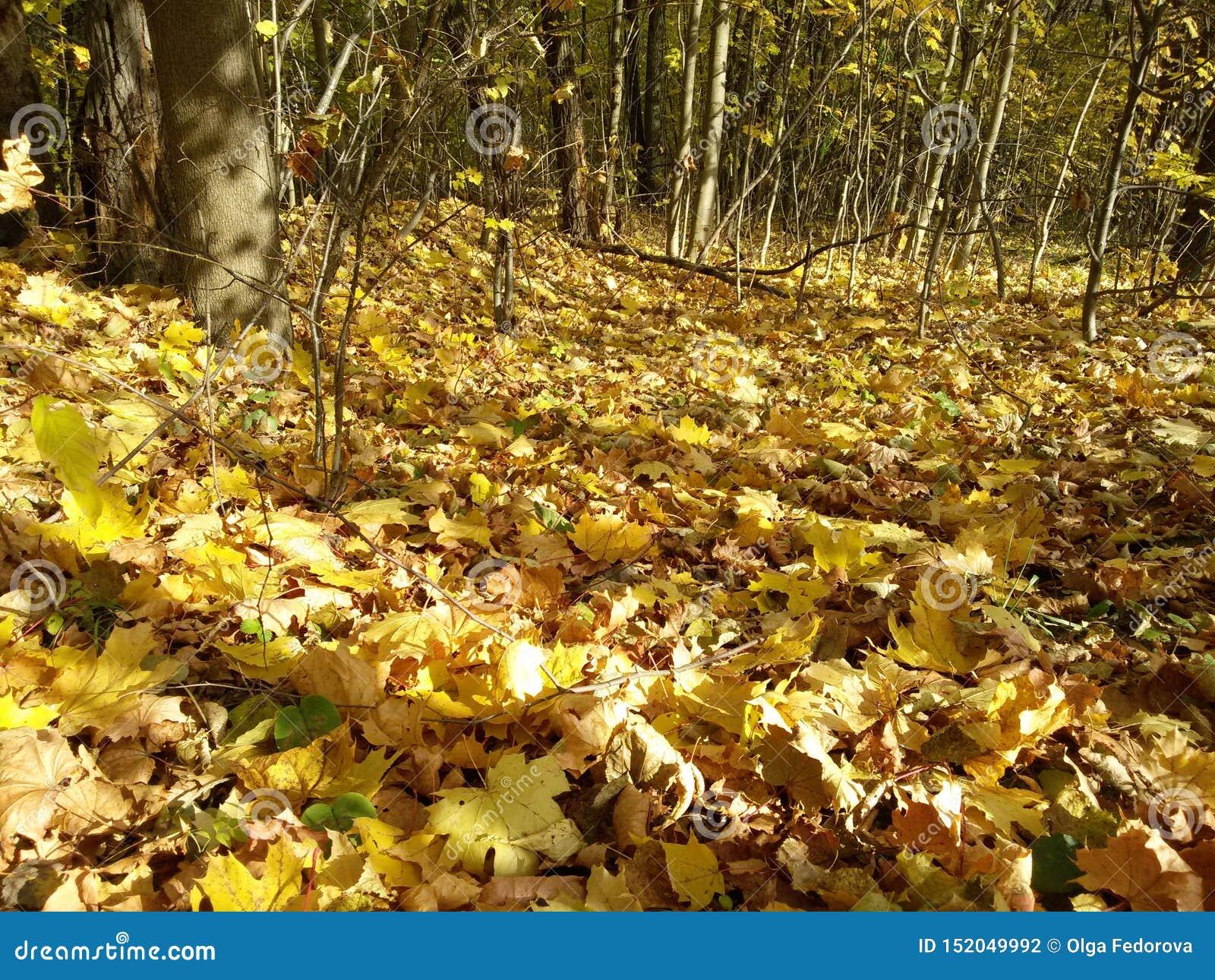 Folhas caídas underfoot na floresta do outono