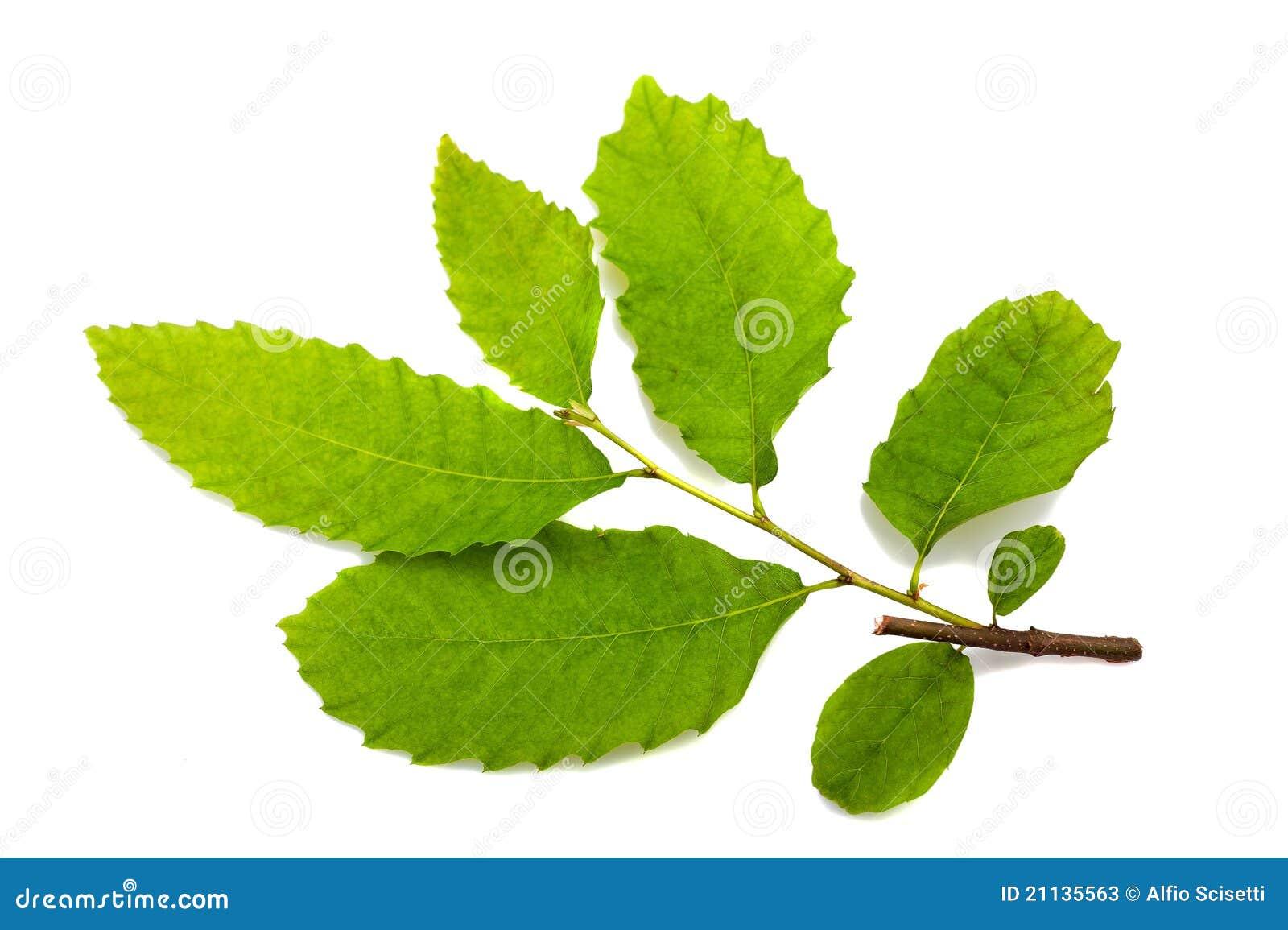 Folhas da castanha