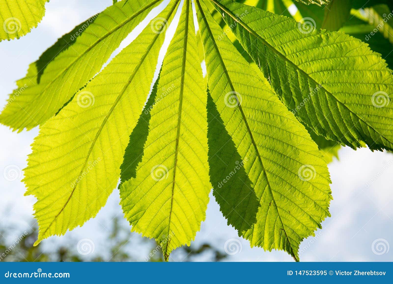 Folhas da castanha na luz solar e em condições retroiluminadas do uso para o projeto