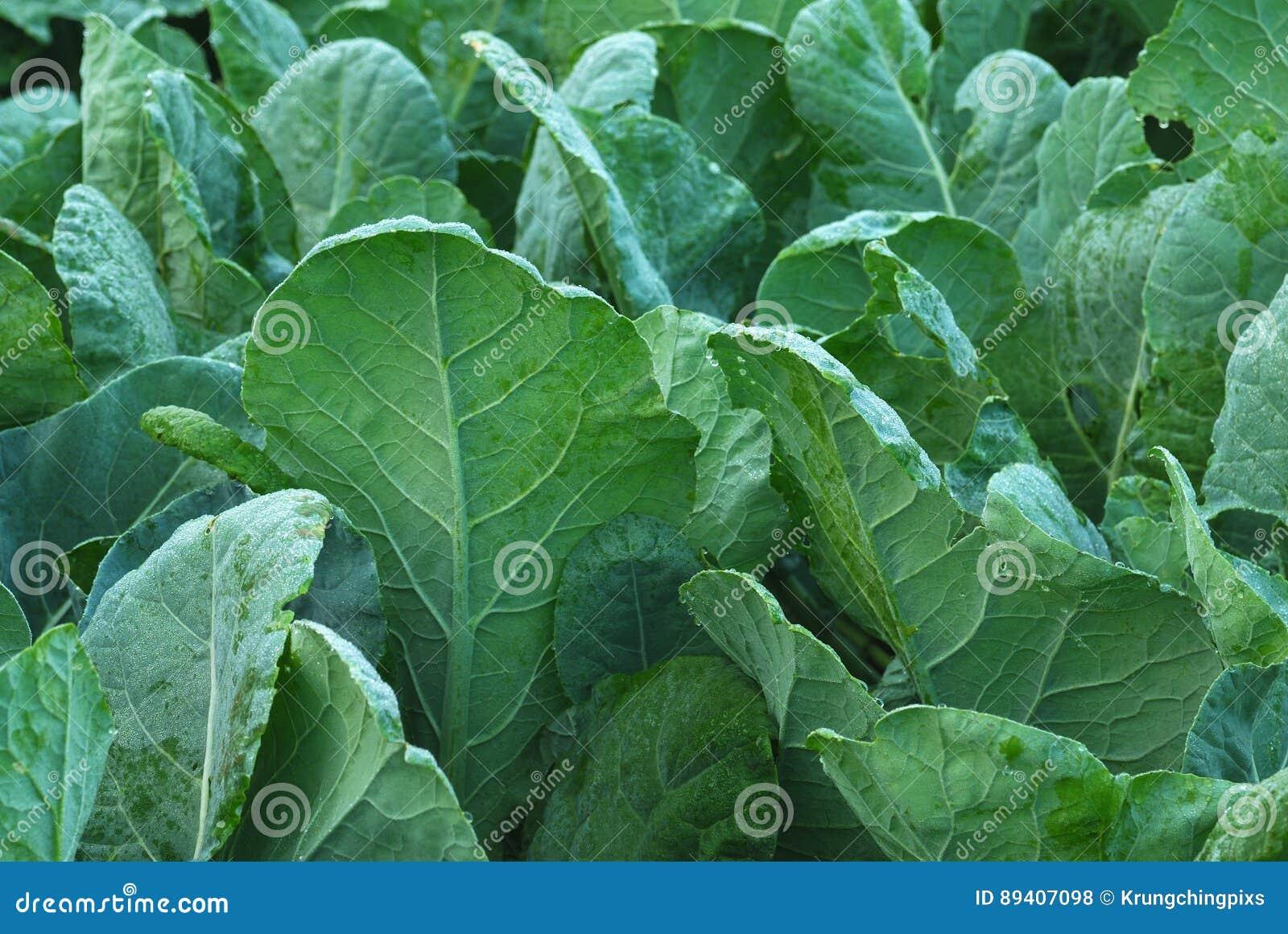 Folhas da couve-flor
