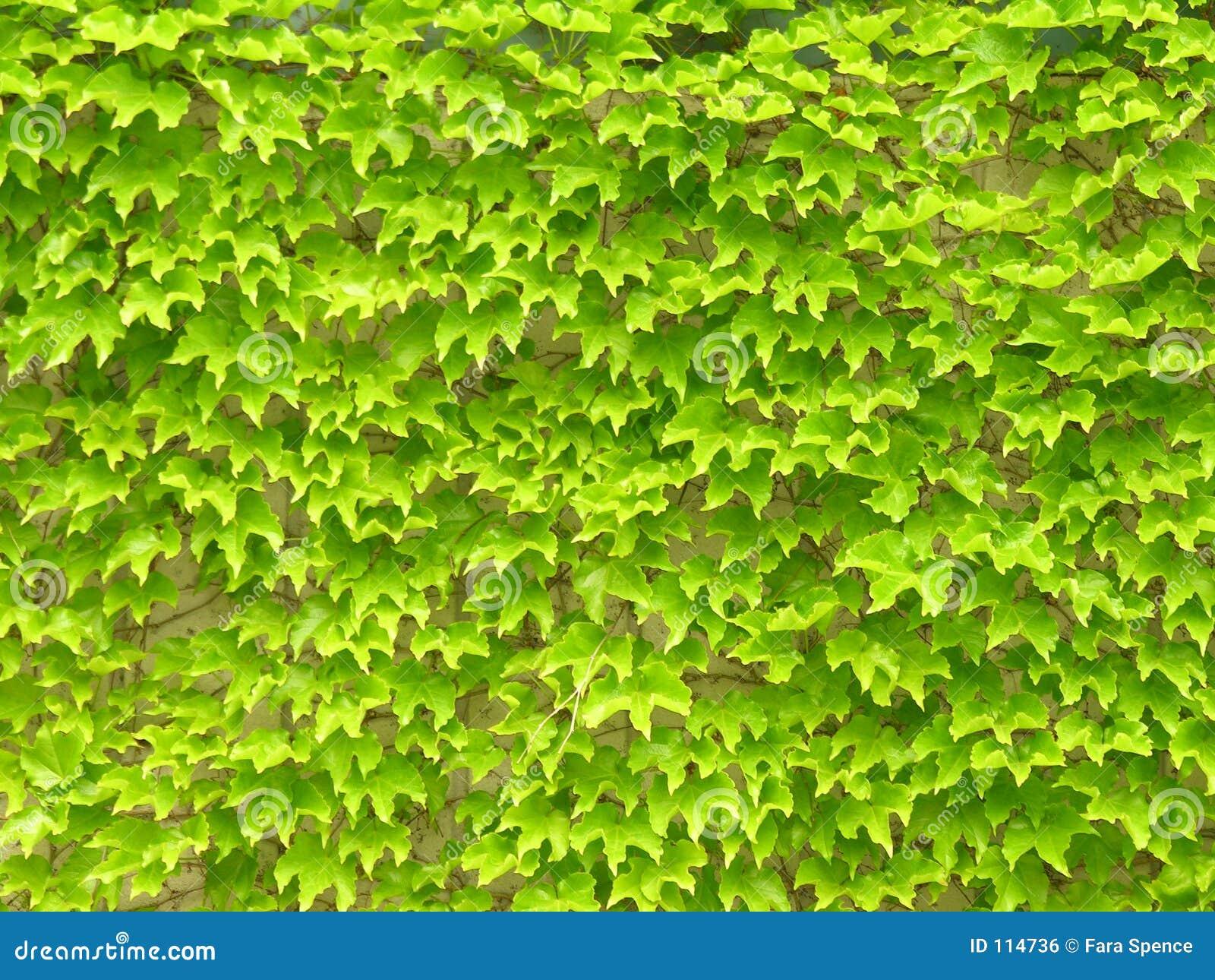 Folhas da hera na parede