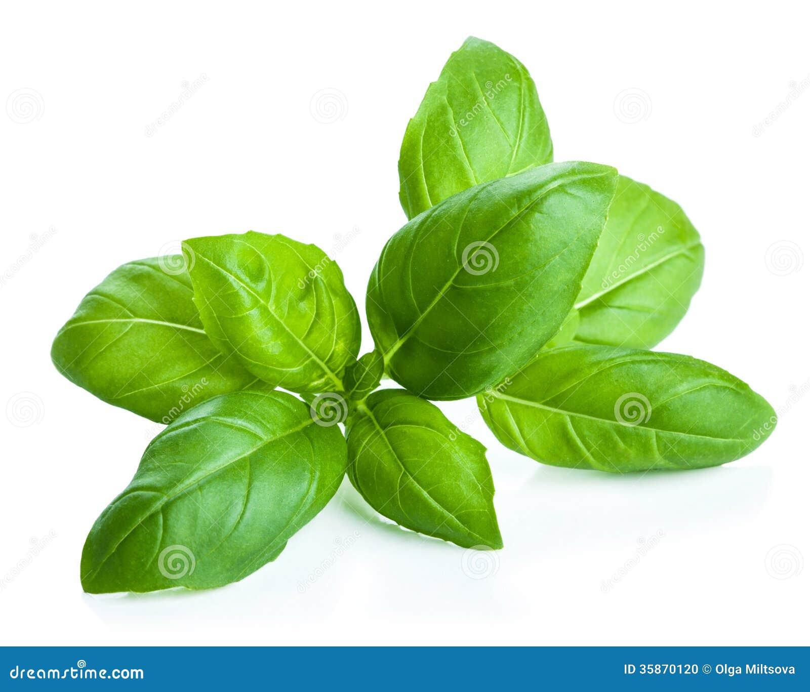 Folhas da manjericão